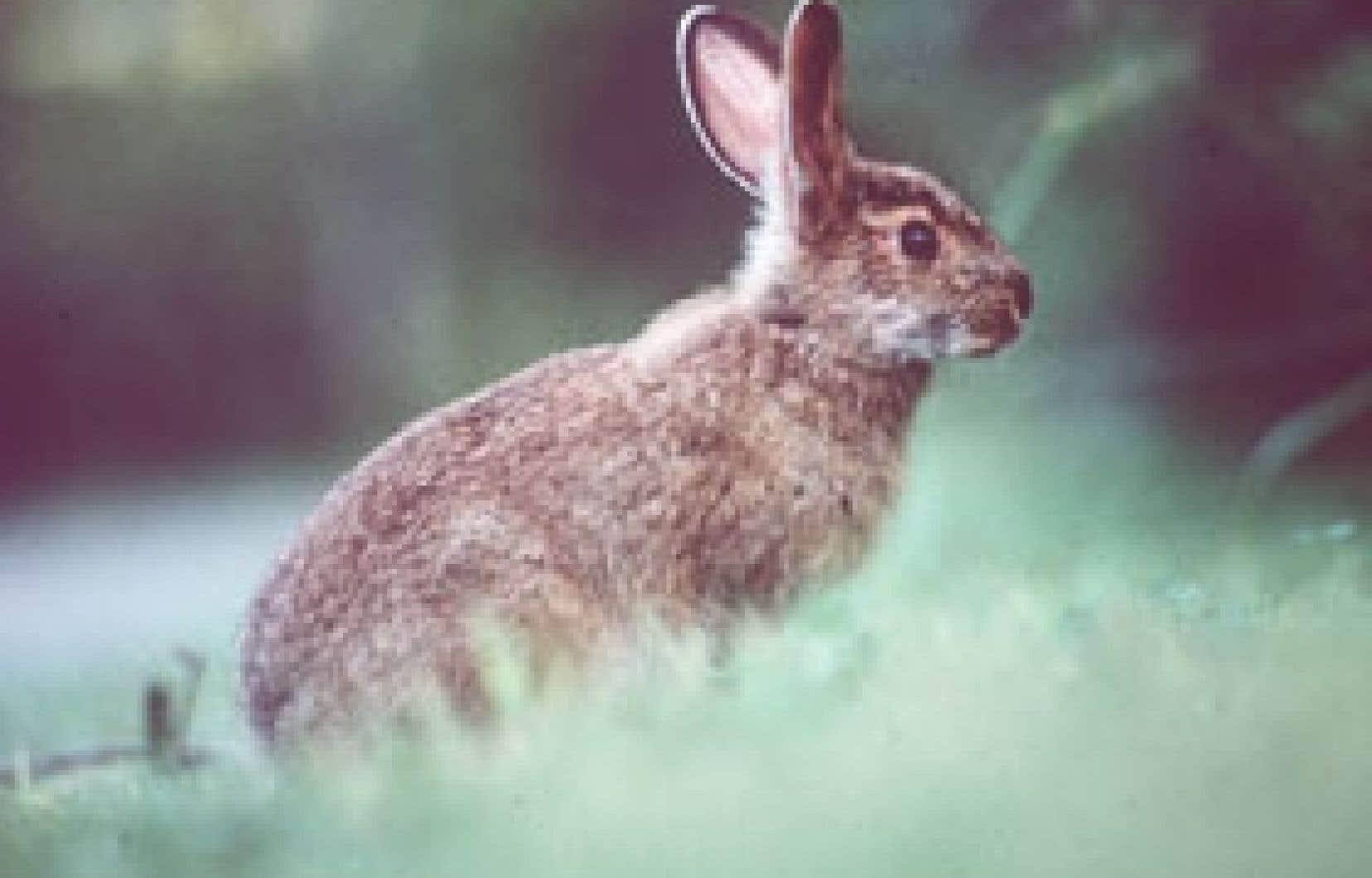 Le lièvre a été choisi comme bio-indicateur pour étudier le transfert des toxiques de l'incinérateur