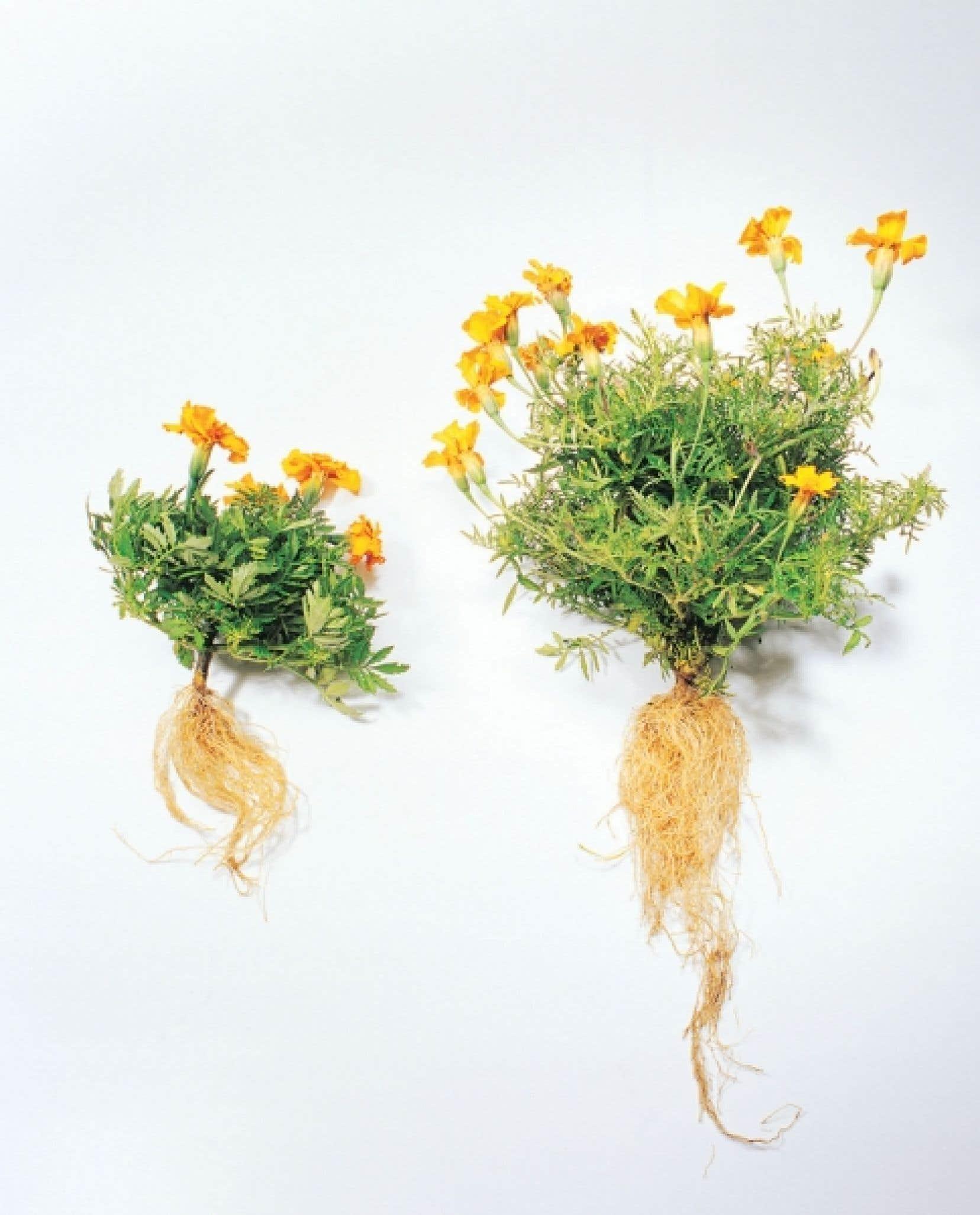Le tagète situé à droite a été cultivé avec des mycorhizes.