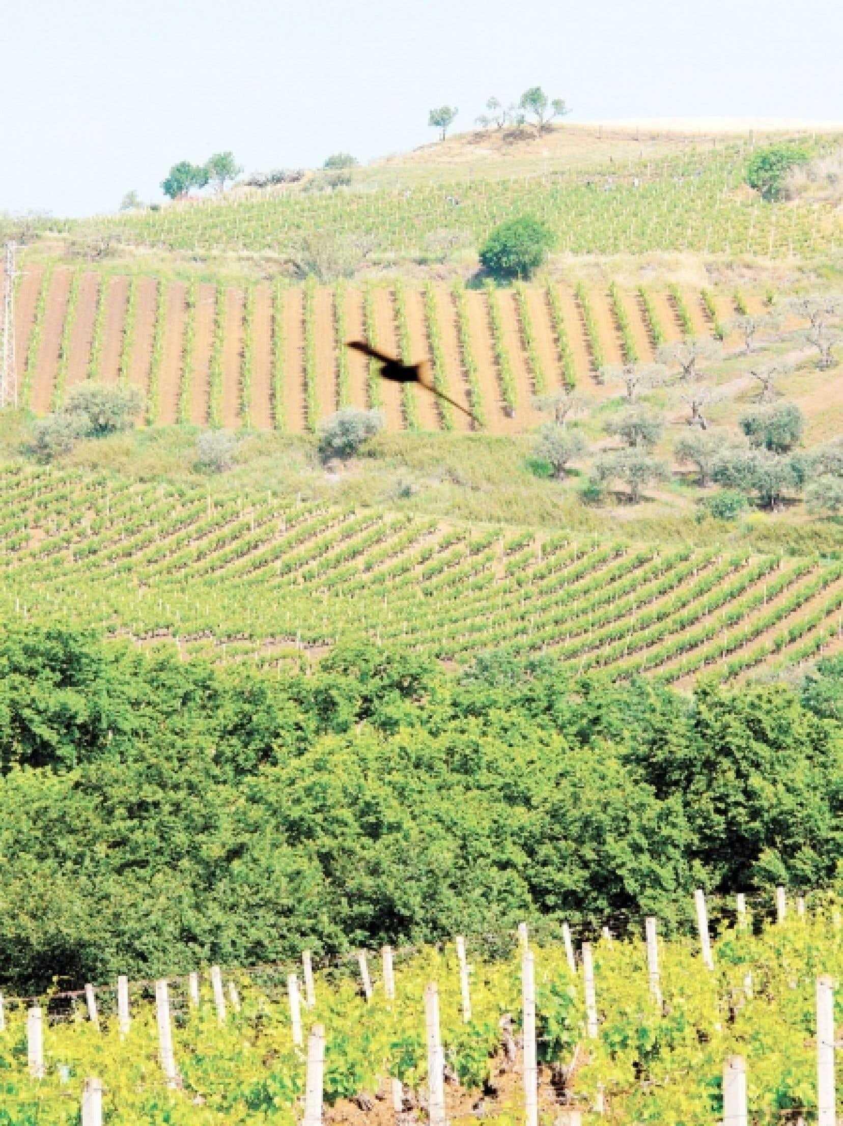 Vignoble sicilien au domaine des Tasca d'Almerita.