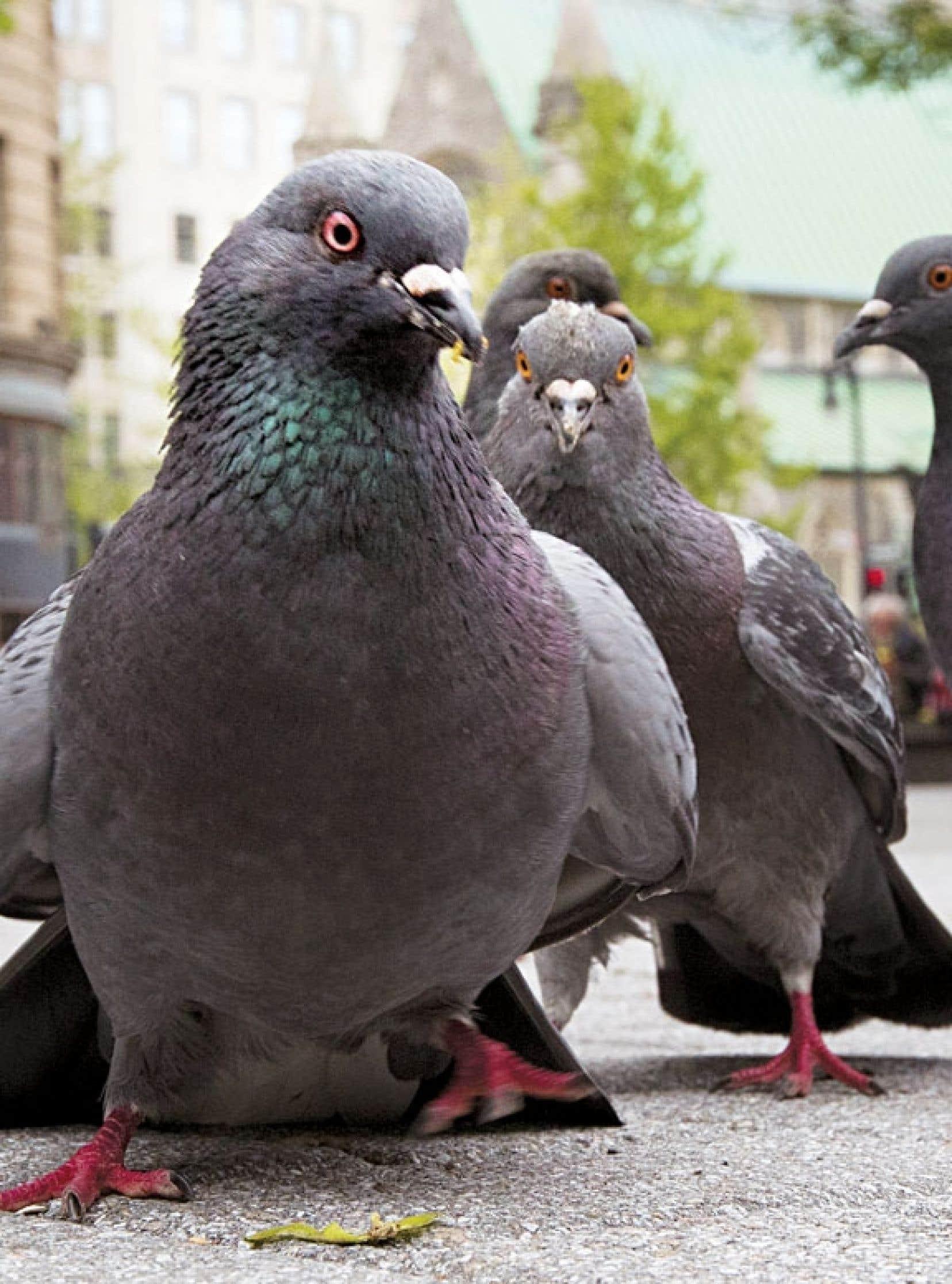 Faut il r habiliter le pigeon biset le devoir - Faire fuir les pigeons ...