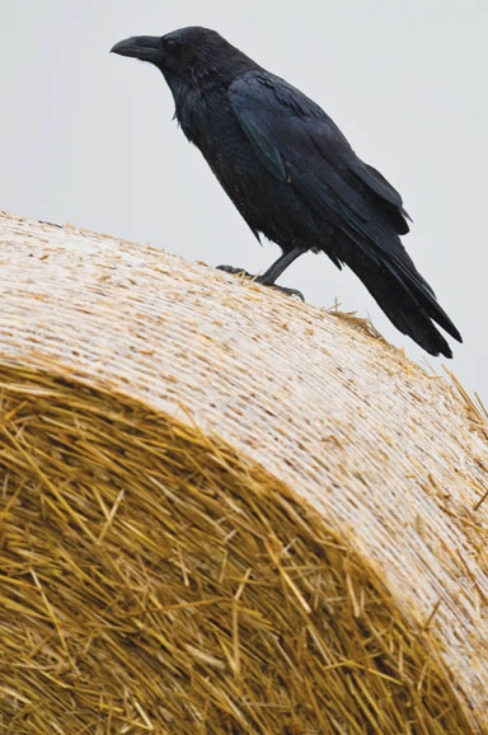 Un corbeau perché sur une balle de foin en Allemagne, mardi, «jour du dépassement» de la capacité de renouvellement des ressources de la Terre.