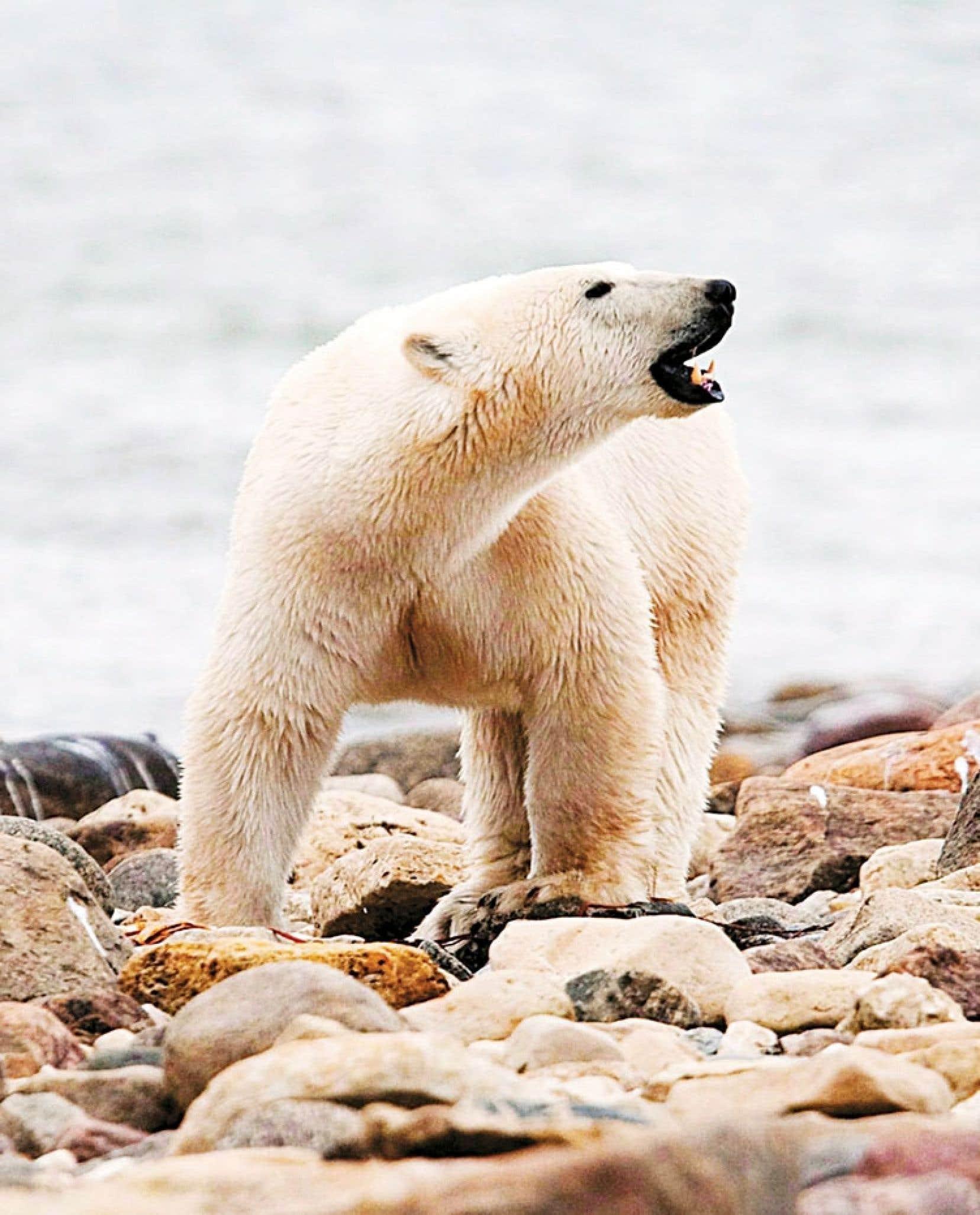 Un ours polaire se promenant sur le rivage de la baie d'Hudson, près de Churchill, au Manitoba. L'espèce est confrontée à « un haut risque d'extinction » à partir d'une hausse des températures de 2,8 °C.