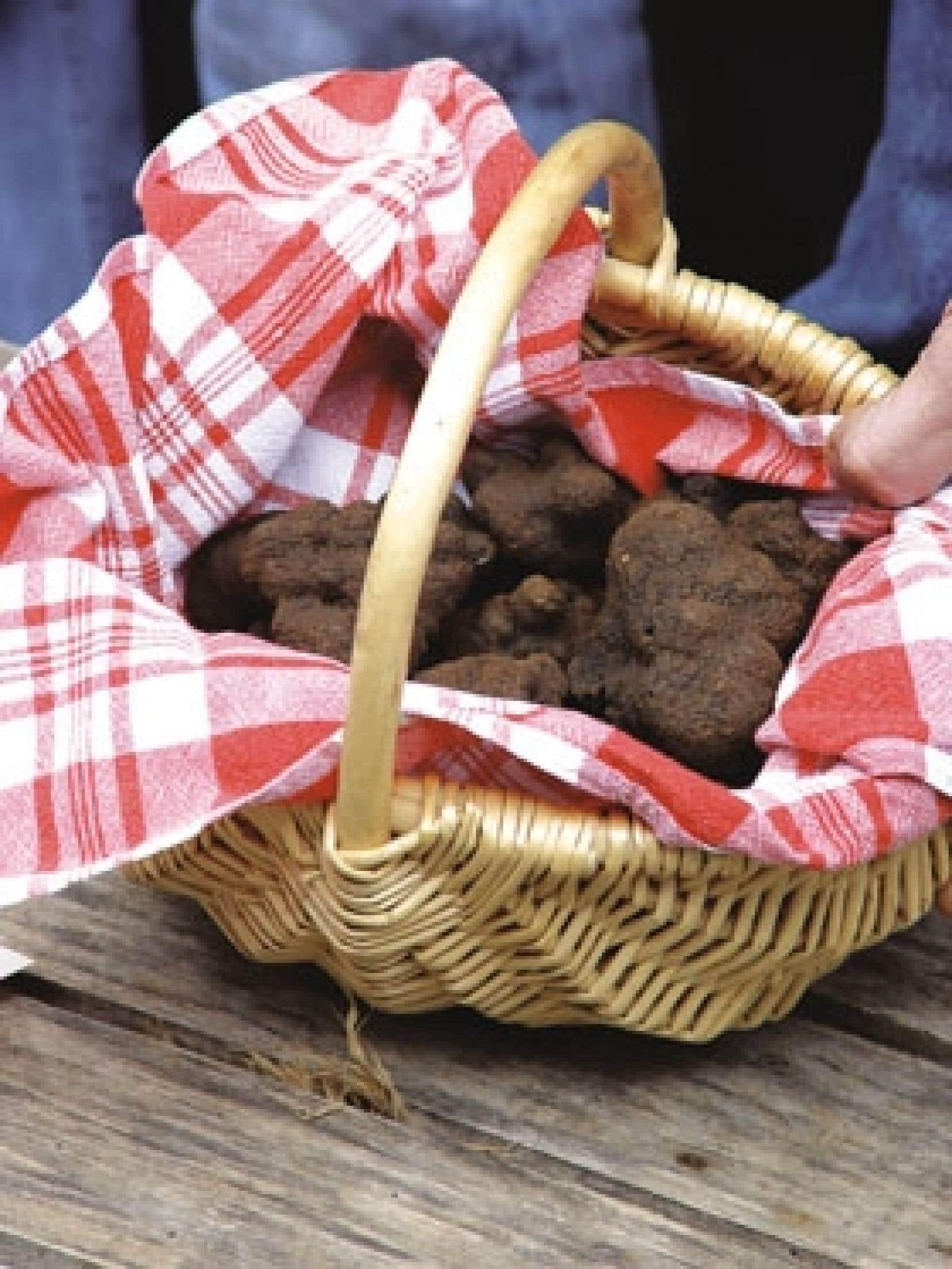 Selon les spécialistes, la truffe fascine toujours autant parce qu'elle demeure un mystère de la nature.