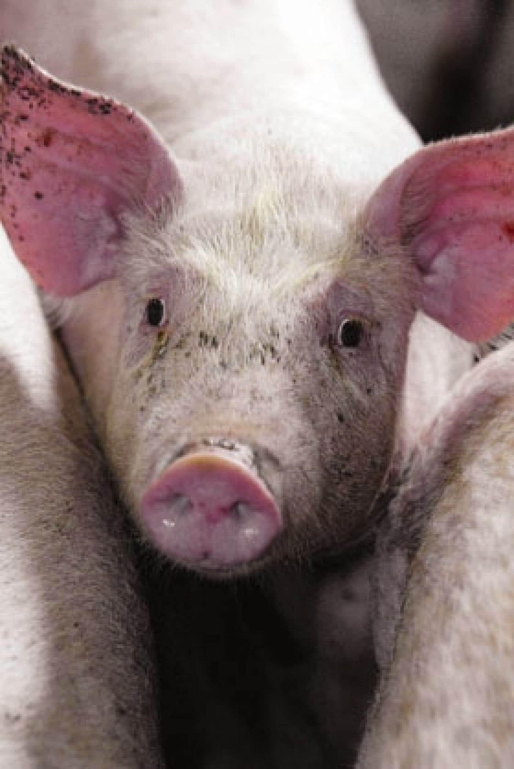 On a produit 7,1 millions de porcs en 2006 au Québec. À lui seul, l'abattoir de Vallée-Jonction reçoit 20 % des porcs.