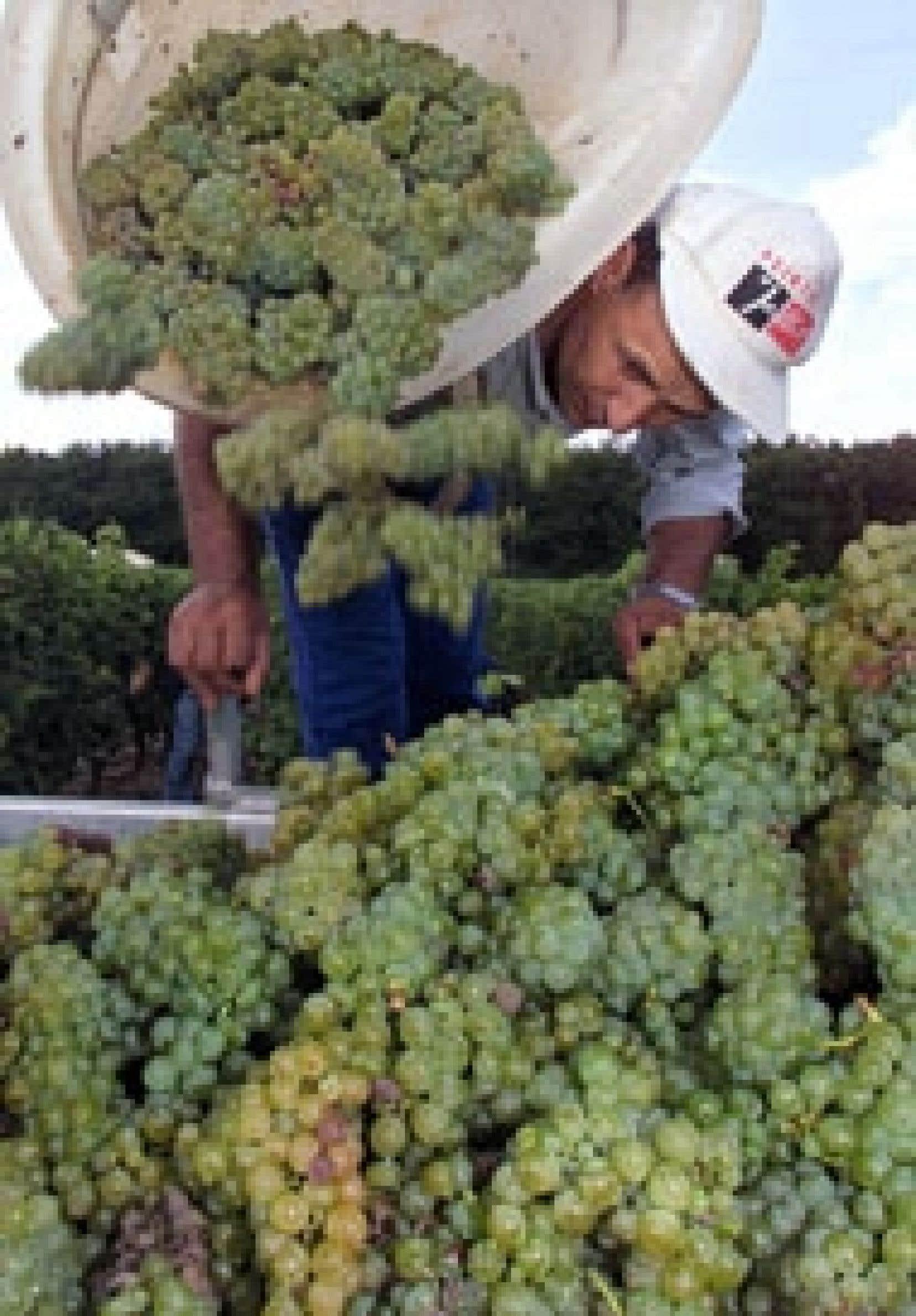 Cueillette de raisins dans la région de Bordeaux, en France.