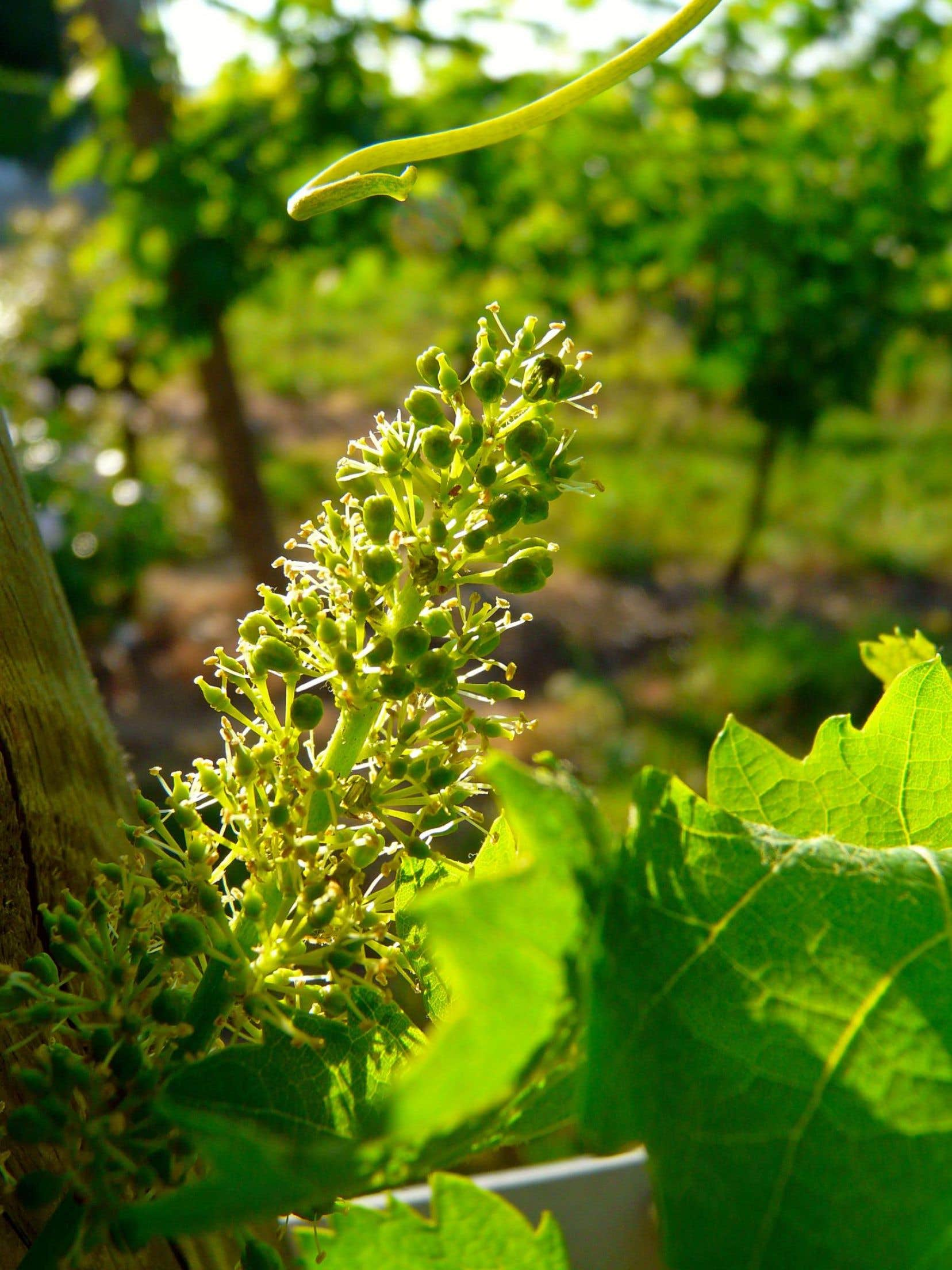 La fleur de vigne à défaut de bourgeon de pot.