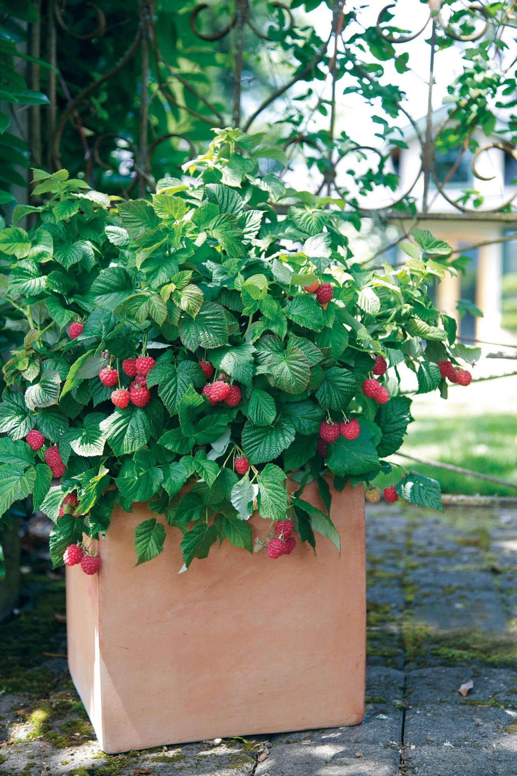 Voici le premier framboisier sans épines connu de l'histoire, le framboisier Raspberry Shortcake!
