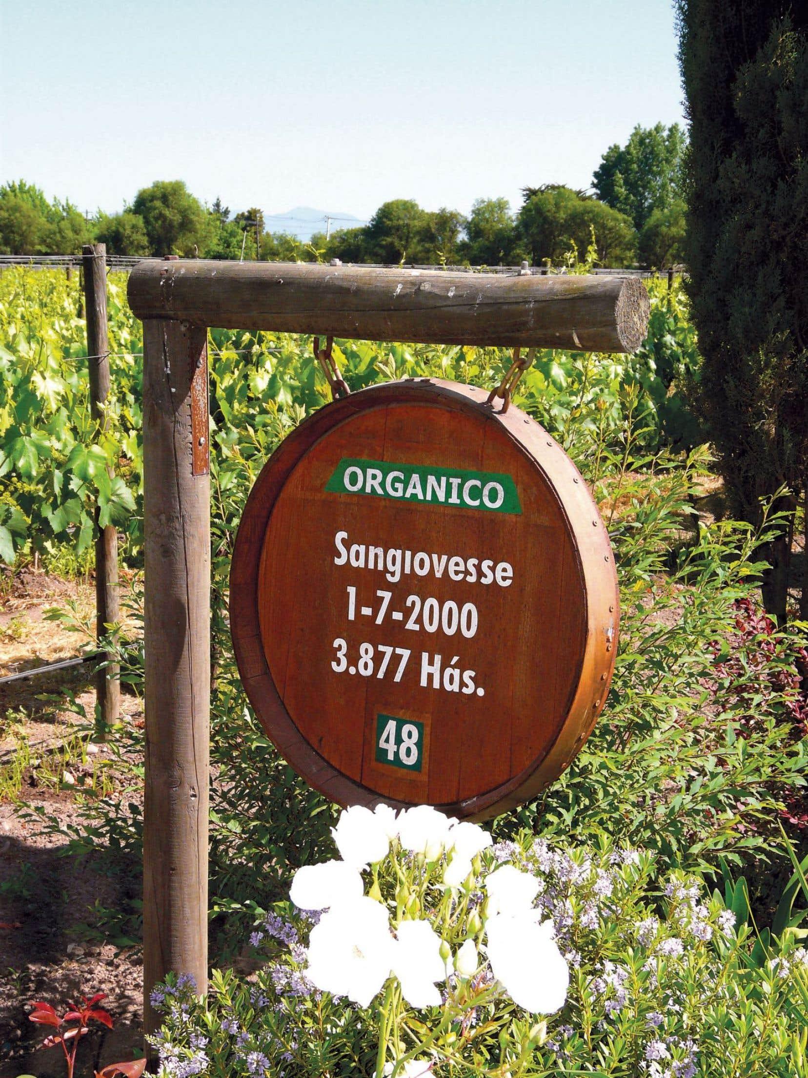 Un vignoble en agriculture biologique, ici chez De Martino, au Chili