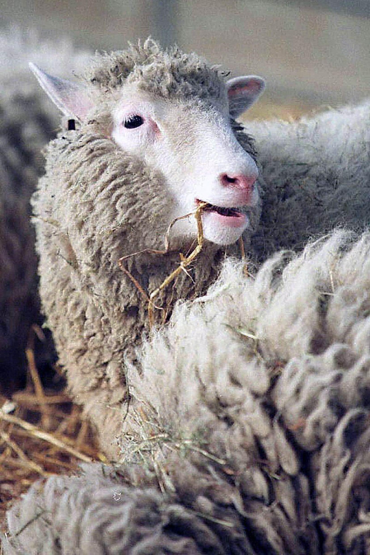 Dolly a vieilli prématurément. Elle a souffert d'arthrite puis développé une maladie des poumons, qui lui a valu d'être euthanasiée en 2003.
