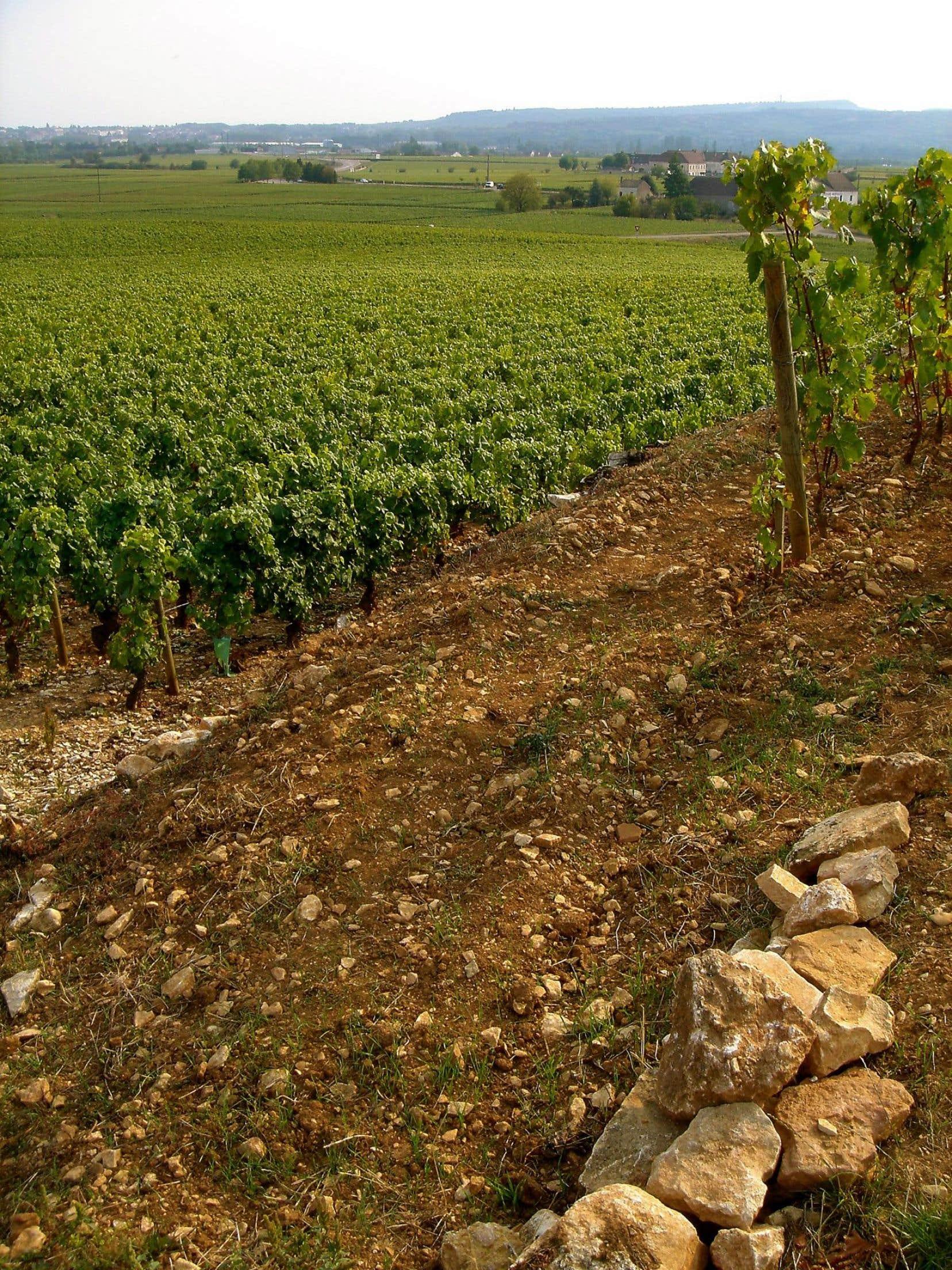 L'aligoté obtient, dès 1937, une première bénédiction avec la création de l'Appellation Bourgogne Aligoté en AOC régionale.