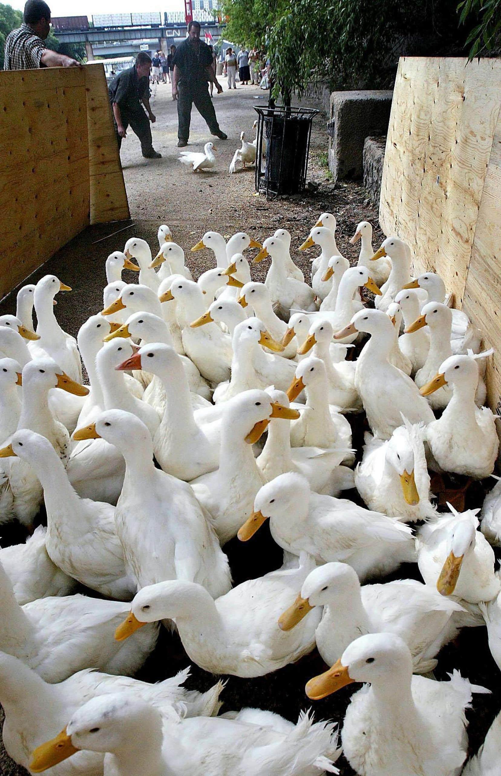 Les éleveurs de canards comptent augmenter leur production en raison de la réouverture du marché mexicain.