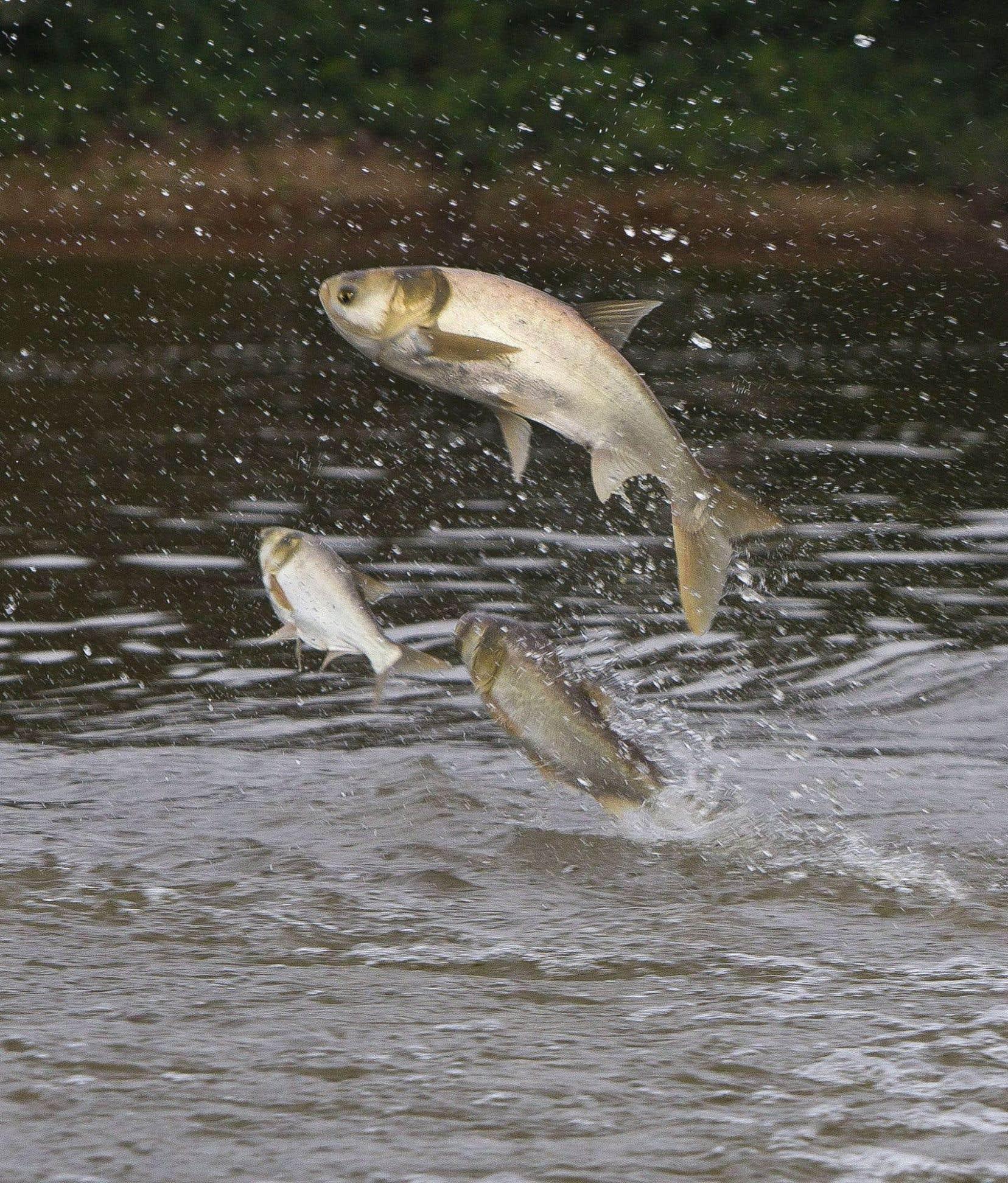 La carpe argentée a annihilé d'autres espèces de poisson dans certains cours d'eau aux États-Unis.