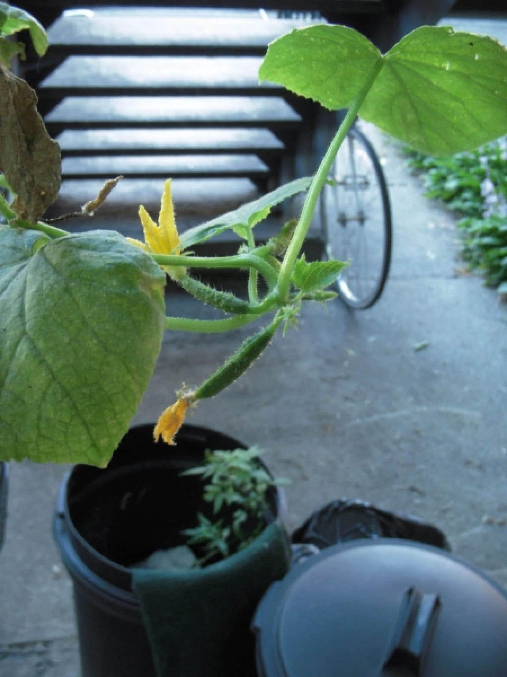 Depuis trois mois, ce plant de concombres libanais joue les agaces et titille la jardini&egrave;re, sans jamais porter ses fruits &agrave; maturit&eacute;. <br />