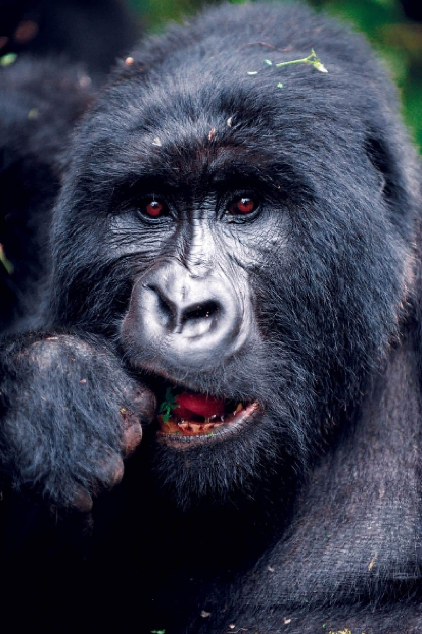 Il ne reste plus que 120 gorilles de montagnes, que Cosma Wilungula se charge de protéger.<br />