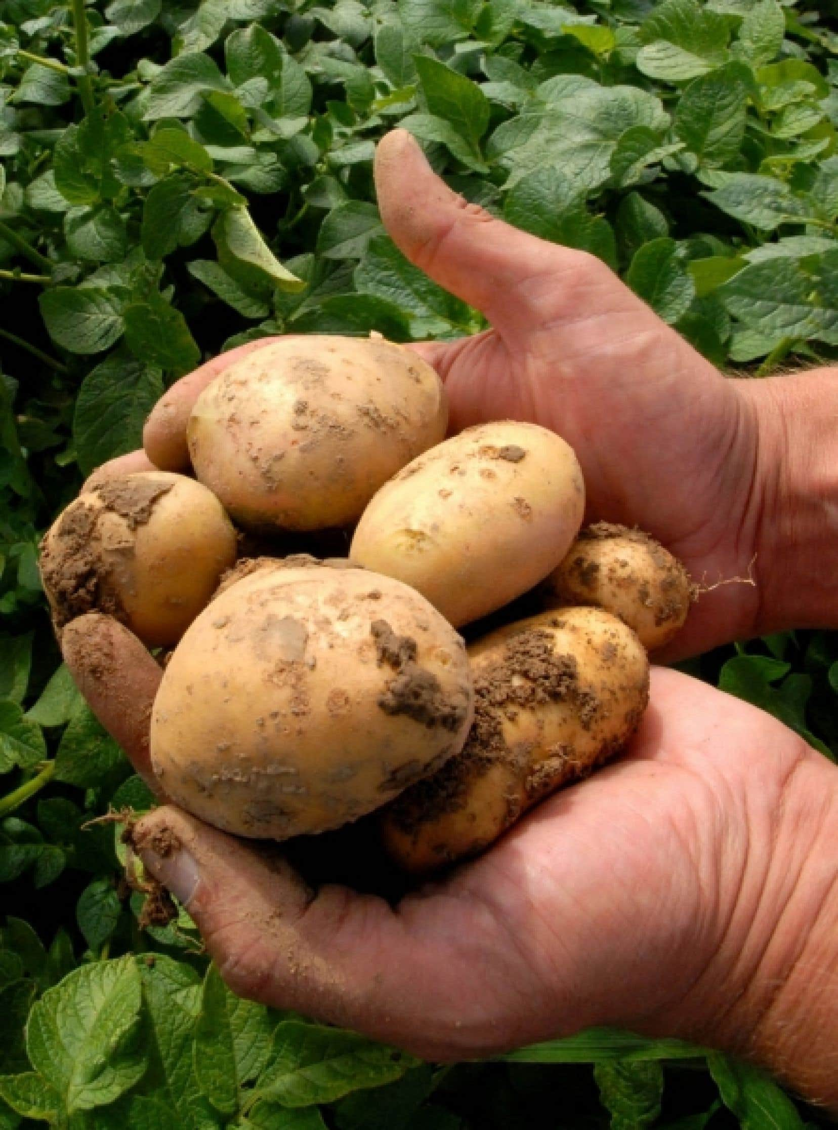 En Allemagne, un homme tient dans ses mains des pommes de terre g&eacute;n&eacute;tiquement modifi&eacute;es. Entre 2009 et 2010, 148 millions d&rsquo;hectares d&rsquo;OGM &mdash; soit 3000 fois la superficie de l&rsquo;&icirc;le de Montr&eacute;al &mdash; ont &eacute;t&eacute; cultiv&eacute;s sur la plan&egrave;te.<br />