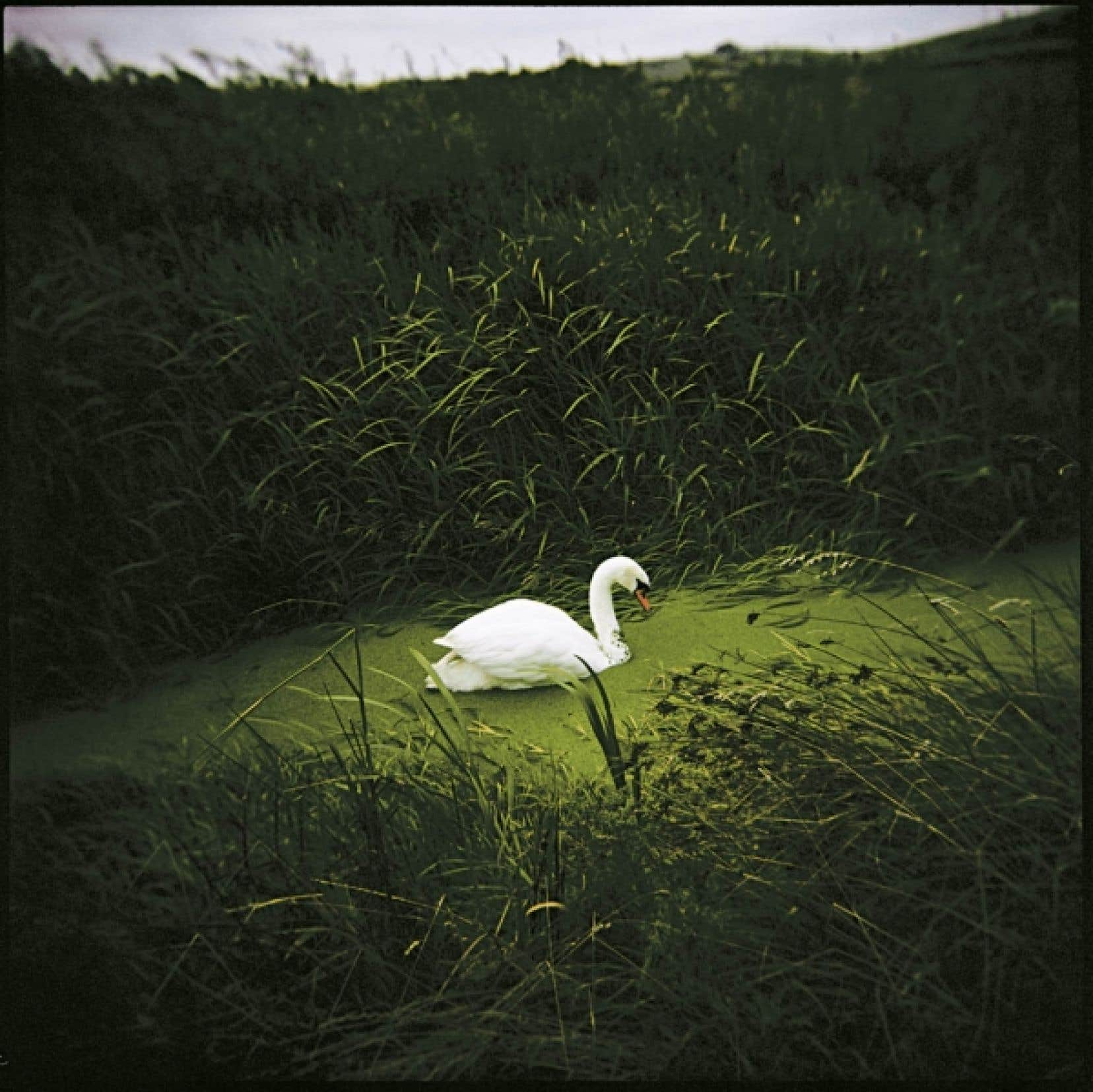 Ce cygne symbolise la mort de Virginia Woolf.<br />