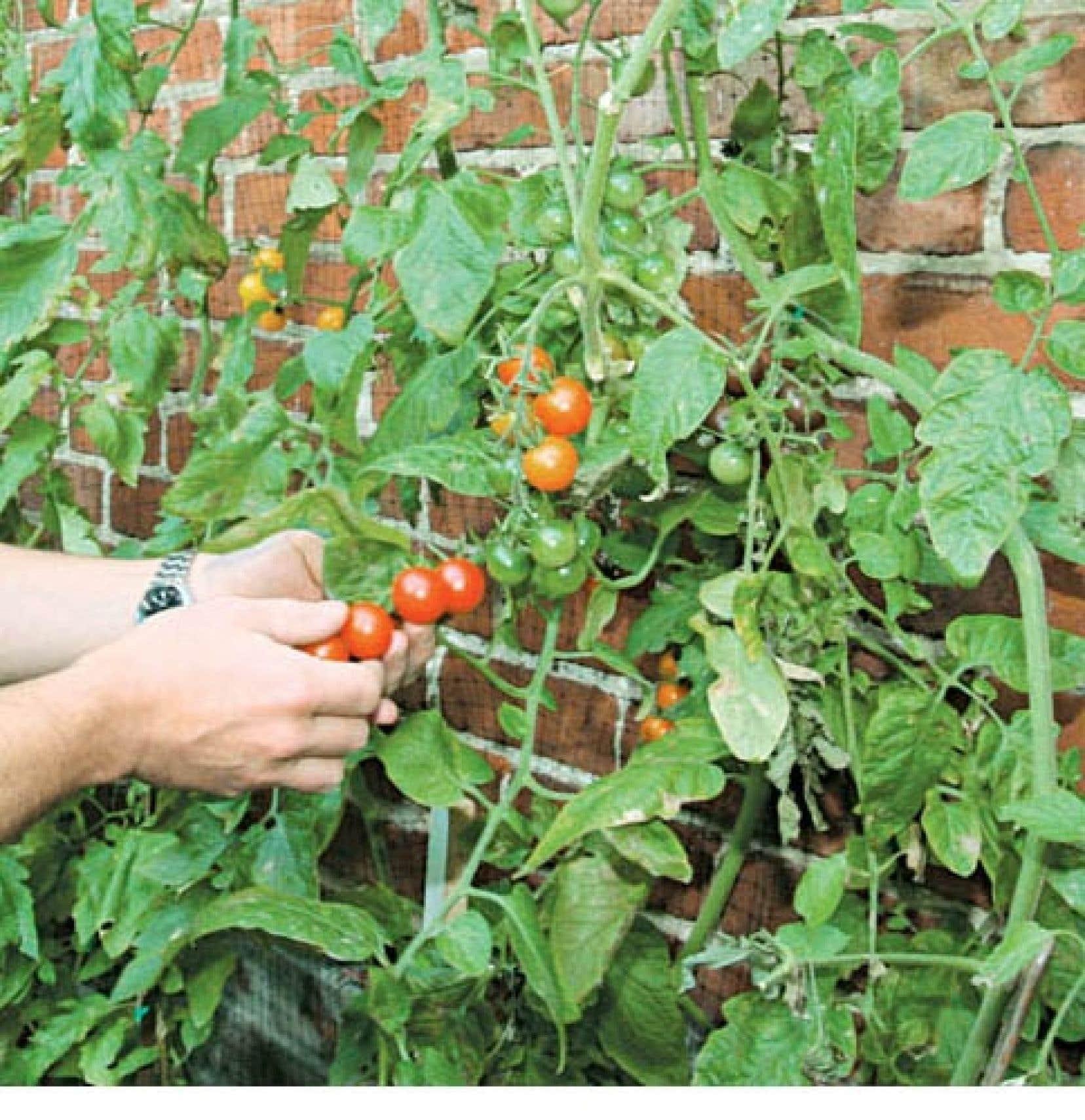 La tomate est disponible aujourd'hui en plusieurs milliers de variétés et se cultive très bien tant sur un balcon que dans un parterre. <br />