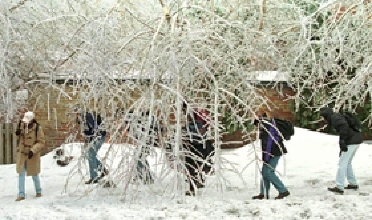 Les arbres du grand verglas: ce qu'il en reste après 10 ans