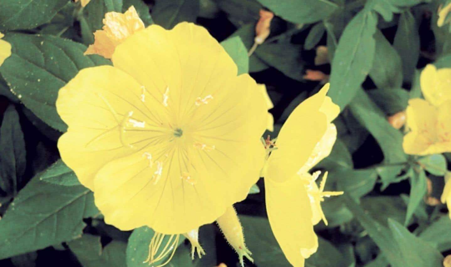 Les fleurs d'onagre se mangent entières, sans étamines, ou encore on déguste uniquement les pétales. On les aime en salade et avec les légumes, le riz ou les pâtes.