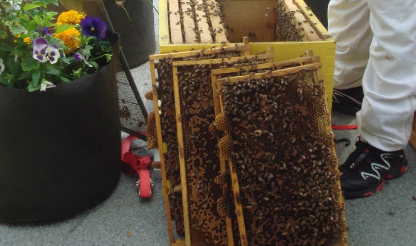 Près d'un tiers des colonies d'abeilles ont été décimées l'hiver dernier aux États-Unis