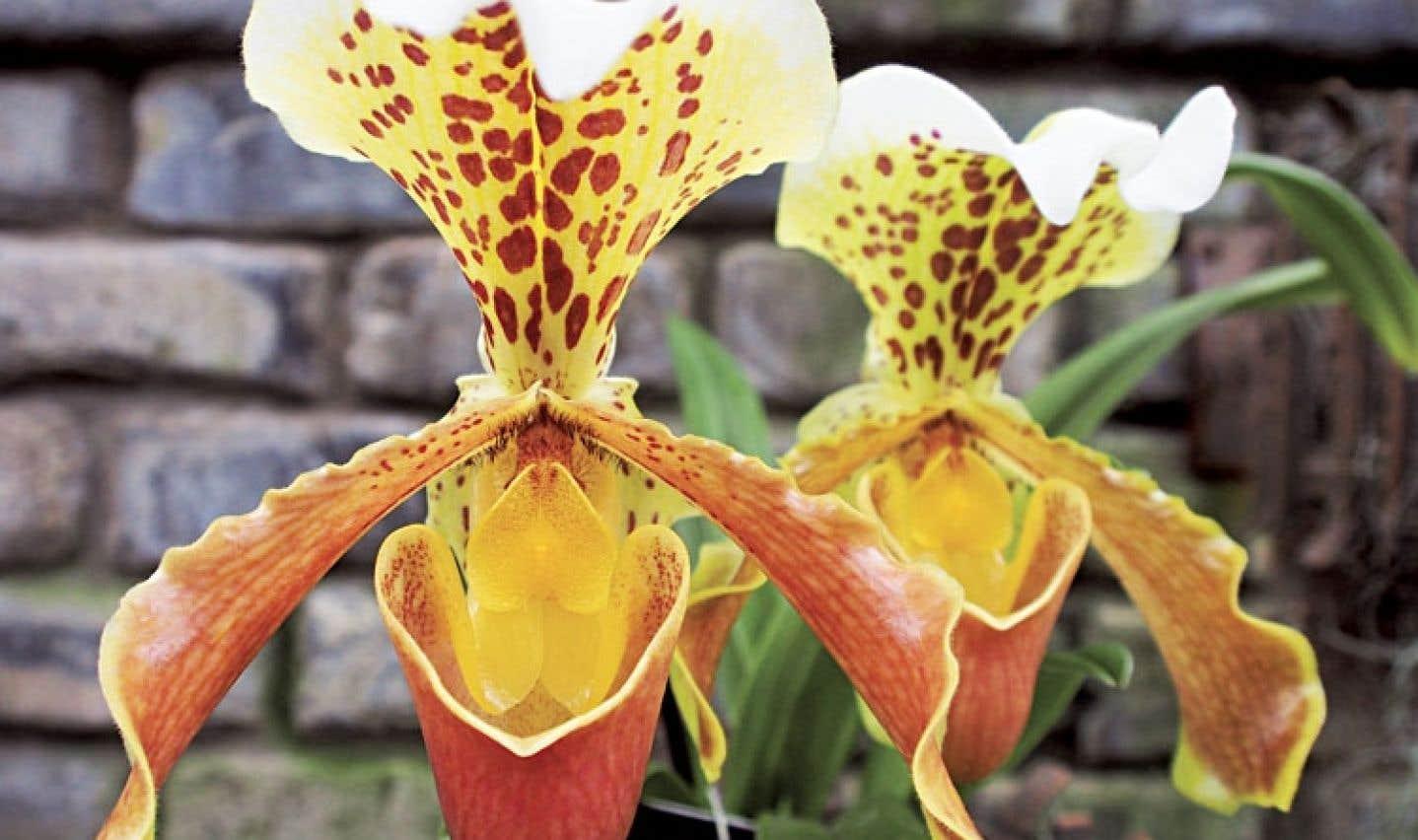 L'Orchidexpo de Montréal permet d'apprécier la beauté et la diversité de ces fleurs exceptionnelles que sont les orchidées. Ici, le Paphiopedilum «Goliath».