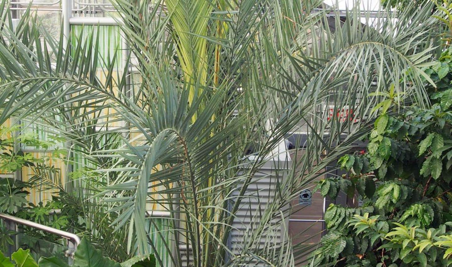 Un dattier mature, dans une serre. Planté en terre, le noyau de datte forme de longues feuilles linéaires, puis, après quelques années, le tronc se développe pour devenir un beau palmier.
