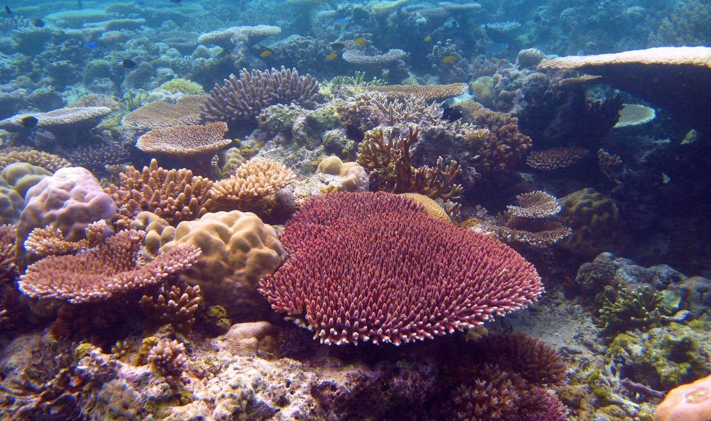 Certains coraux tolèrent mieux la chaleur