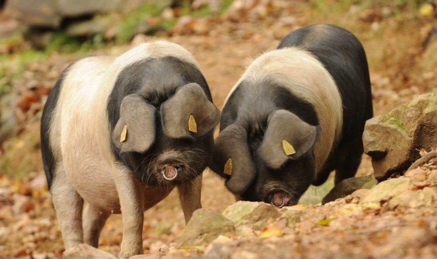 Le porc Kintoa a failli disparaître il y a une trentaine d'années.