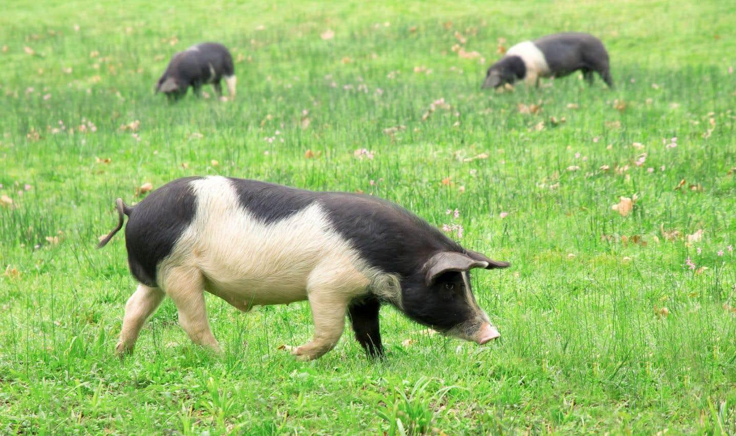À Banca, des dizaines de porcs Kintoa poussent joyeusement du groin.