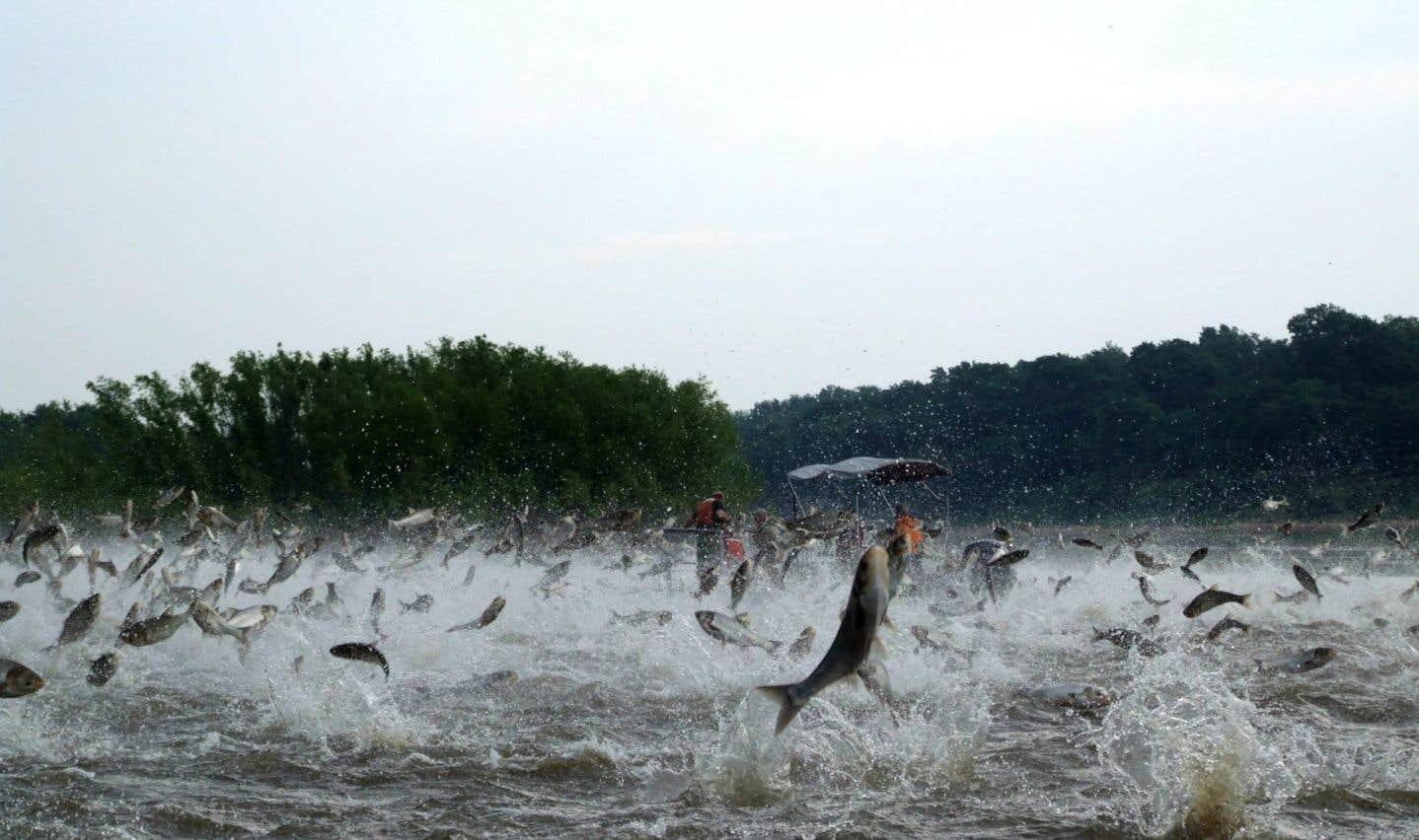 La carpe asiatique est arrivée dans les Grands Lacs