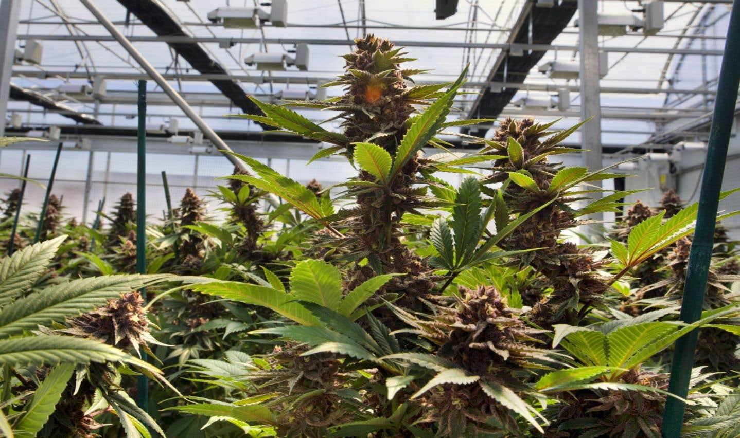Marijuana: le Québec et l'Ontario veulent développer un modèle commun