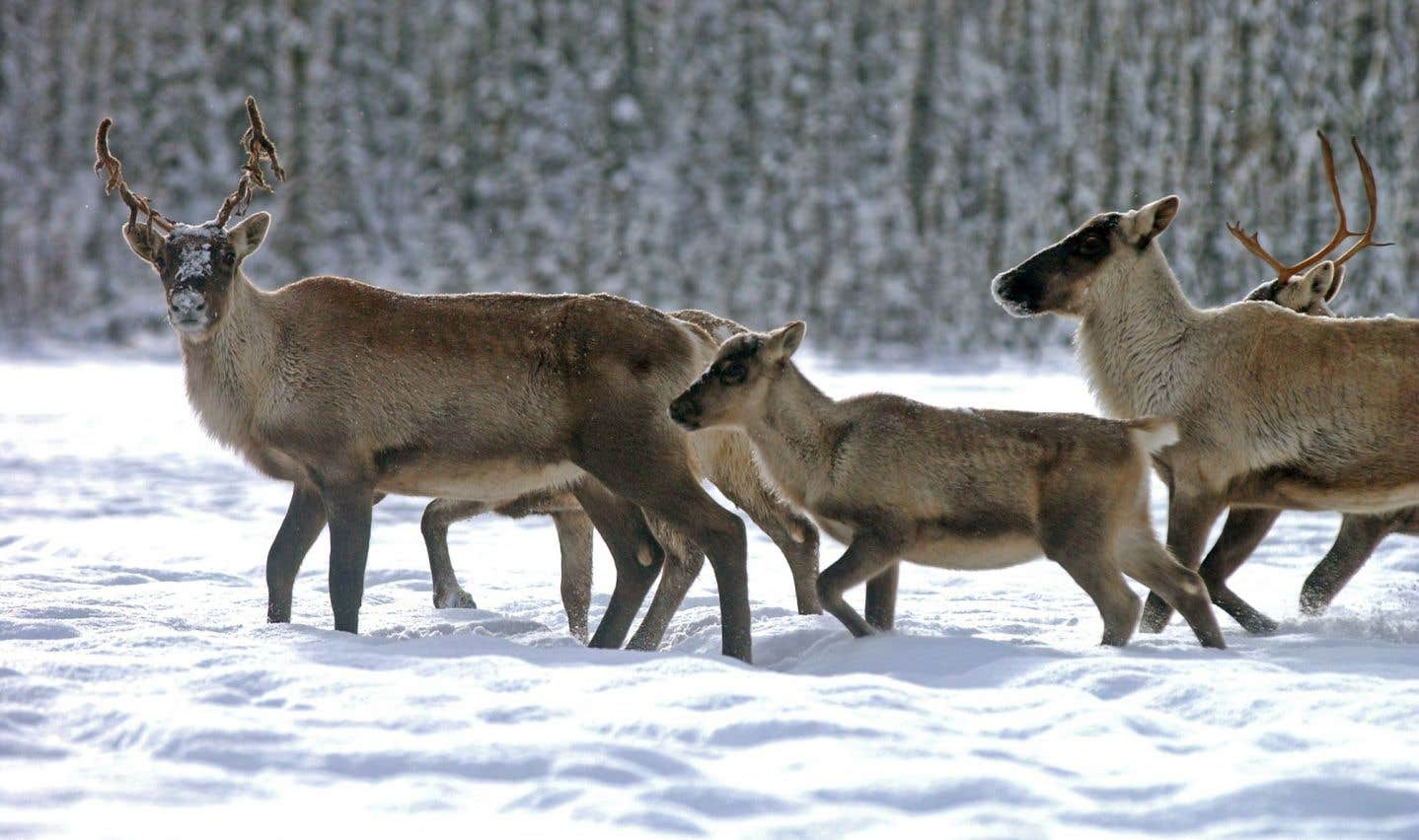 Déplacement de caribous: Québec refuse d'expliciter sa décision