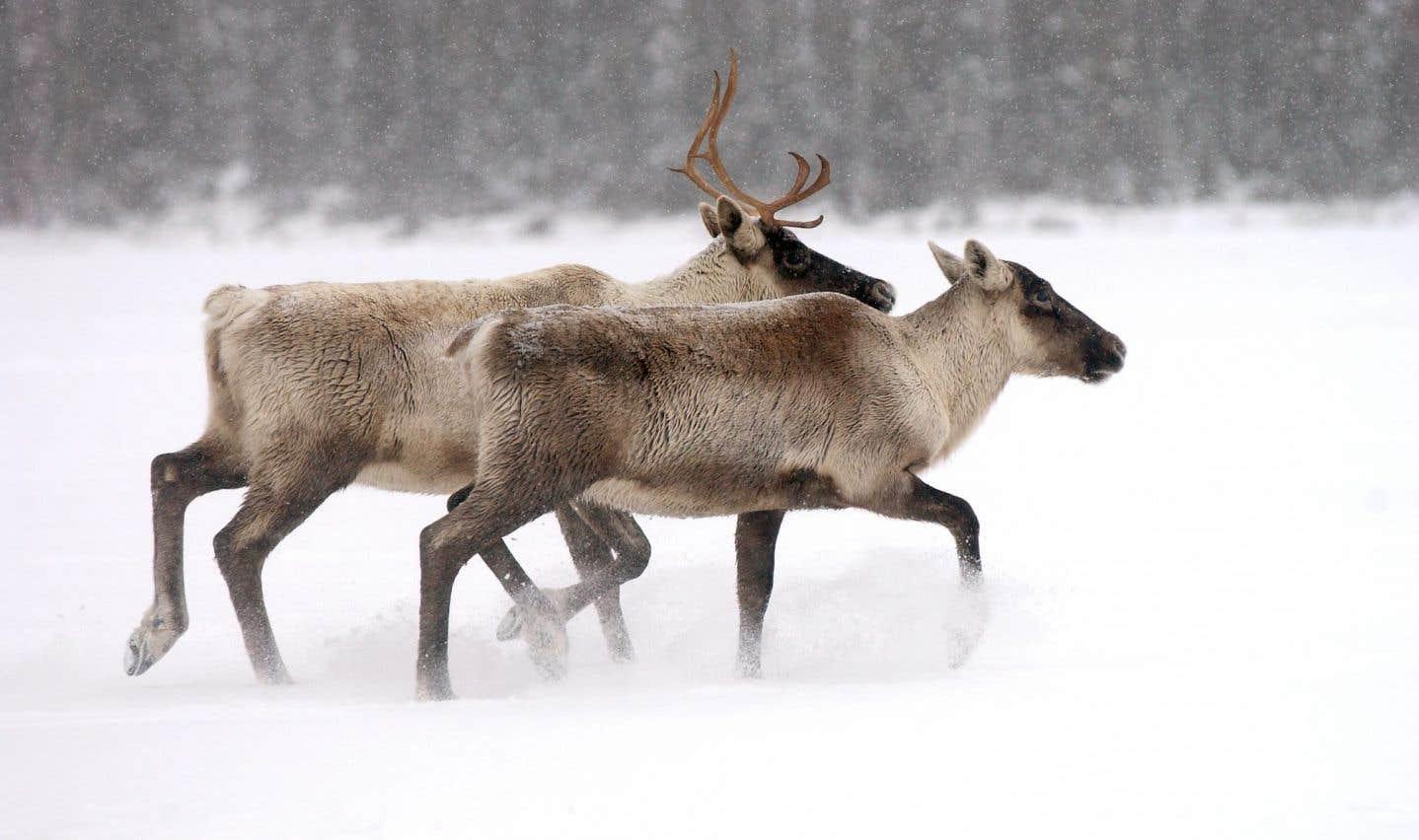 Caribous: Québec a ignoré des avis de ses experts