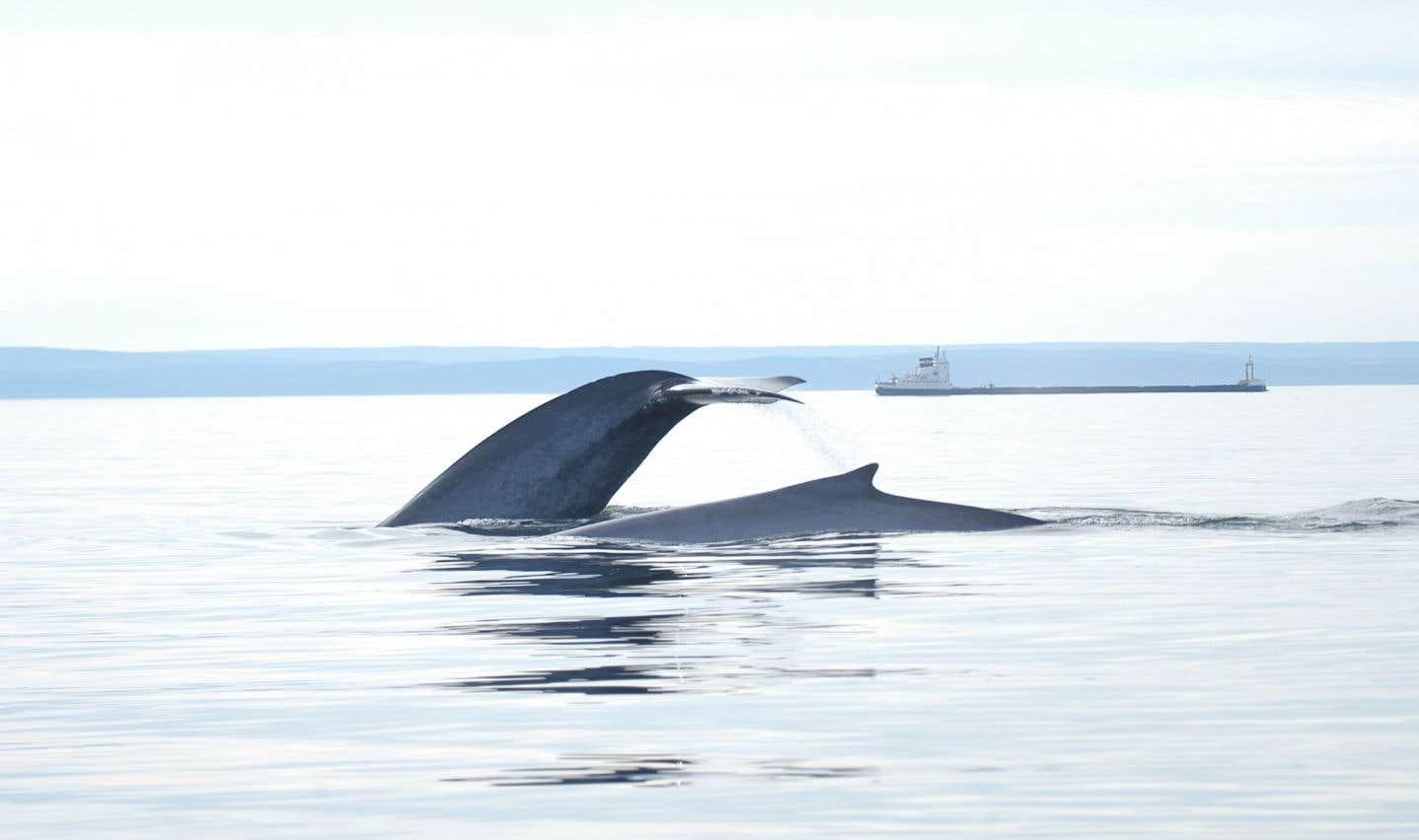 Une zone marine protégée dans le golfe du Saint-Laurent... ouverte aux pétrolières