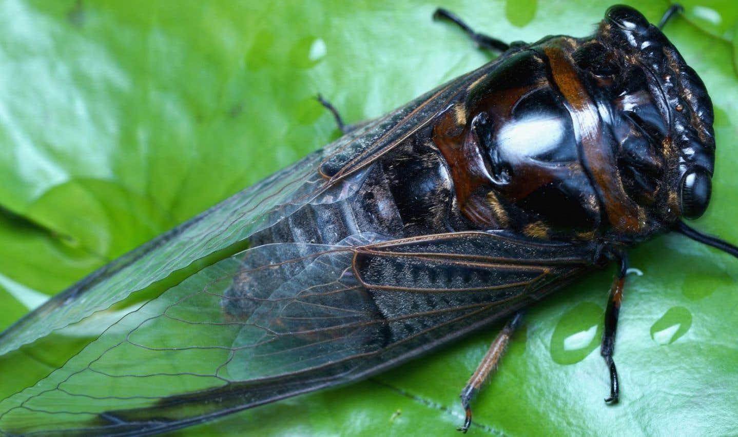 Il existe différentes populations de cigales dites «périodiques», mais celle qui intrigue en ce moment les entomologistes n'aurait pas dû se réveiller avant 2021.