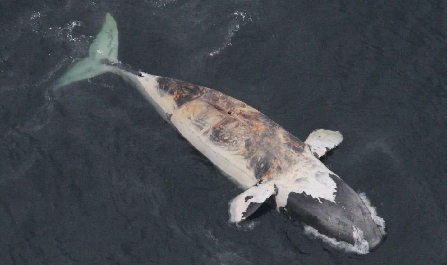 Six baleines noires mortes dans le golfe du Saint-Laurent
