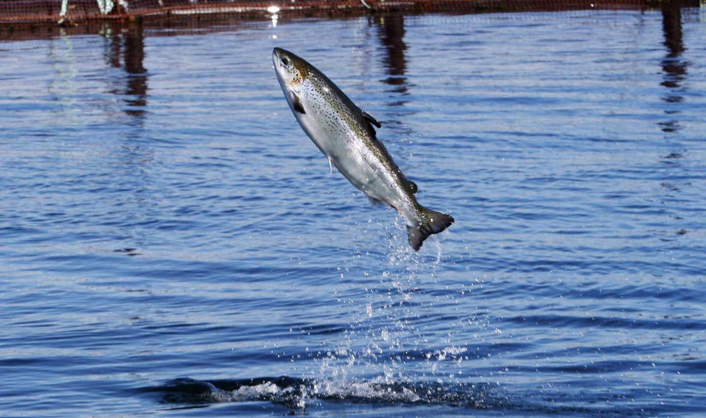 Ottawa évaluera les impacts d'une production de saumons OGM dans l'Î.-P.-É