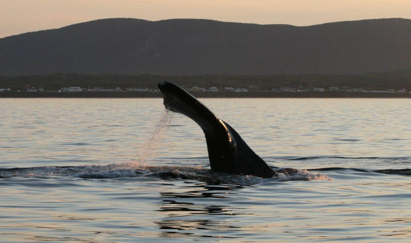 Une 10e baleine noire retrouvée morte dans le golfe du Saint-Laurent