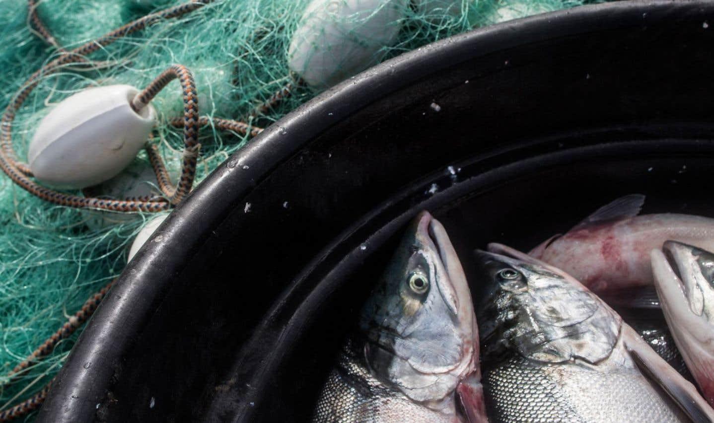 Du saumon transgénique est maintenant vendu au pays, sans étiquetage
