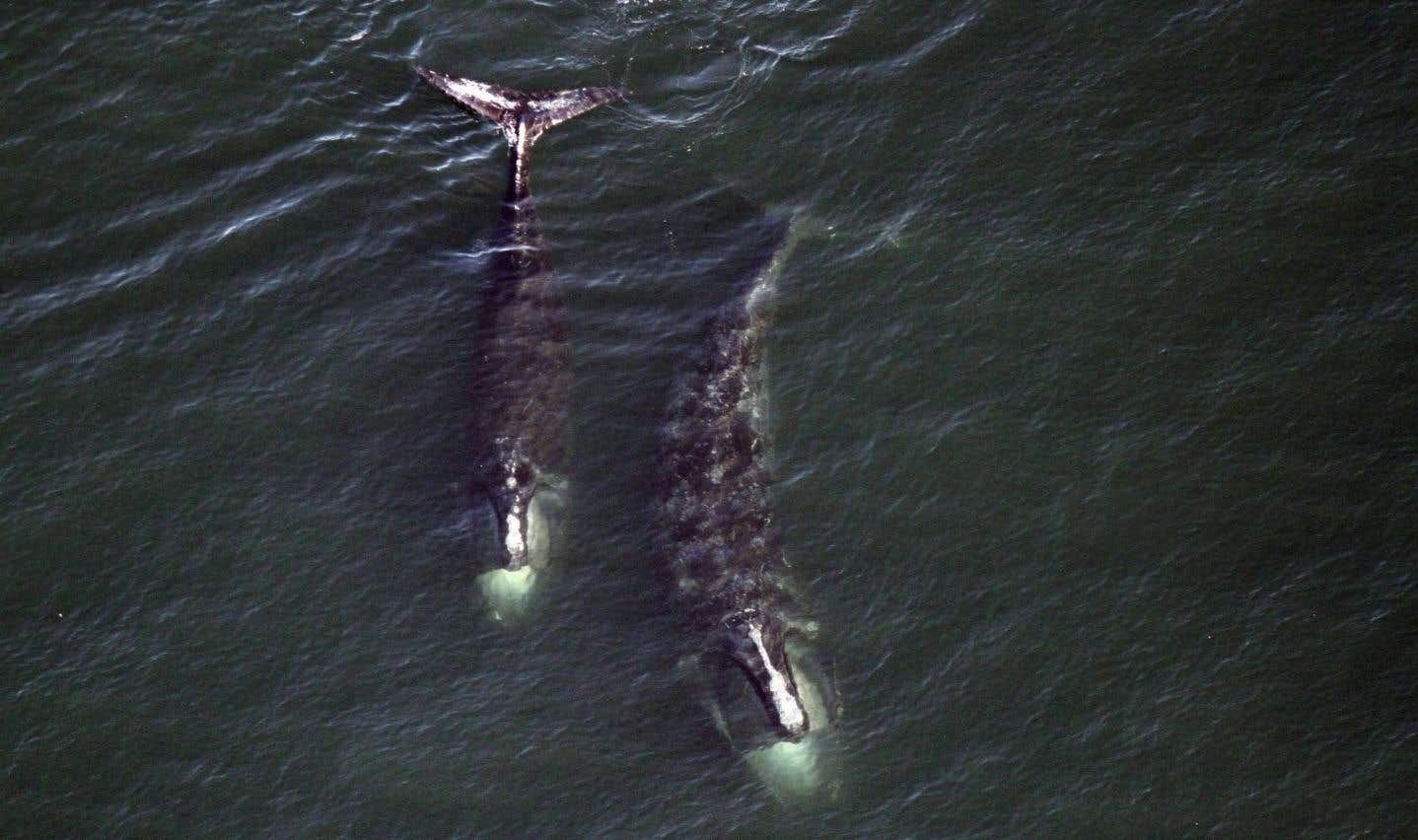 Ottawa promet de nouvelles mesures pour aider les baleines noires