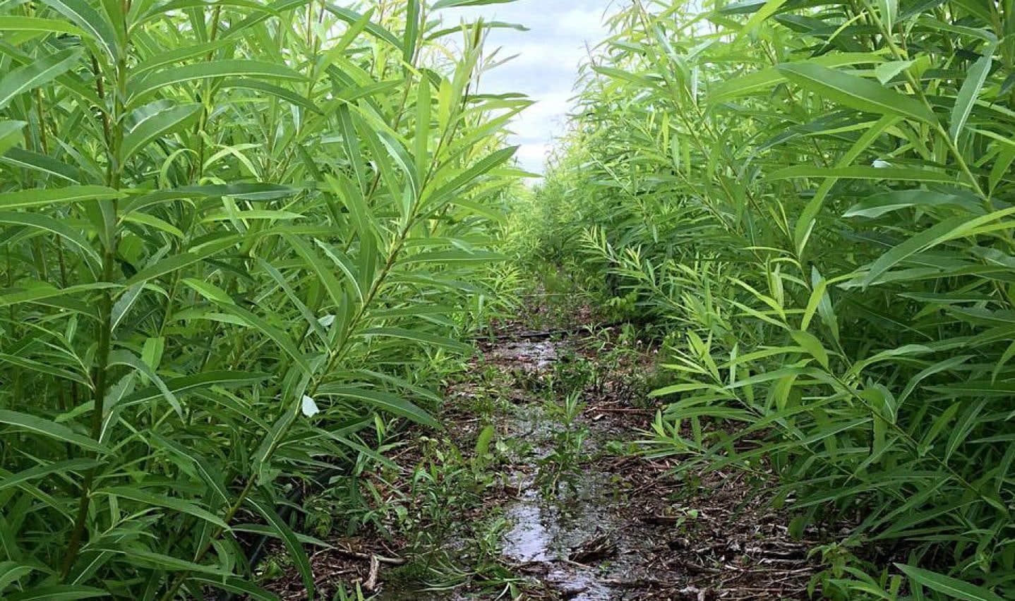 Une parcelle en cours d'irrigation par des saules, plus particulièrement le «Salix miyabeana SX67», une variété à croissance rapide qui est bien adaptée aux conditions nord-américaines.