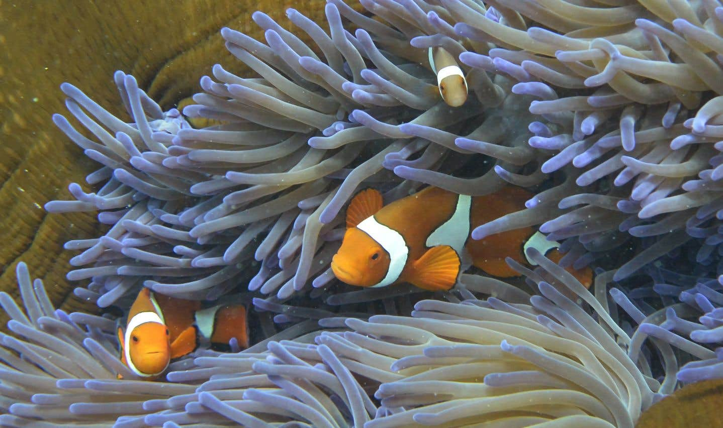 Les chercheurs de l'Université australienne Southern Cross ont collecté fin 2016 de grandes quantités d'ovules et de sperme de coraux à Heron Island, au large de la côte orientale.
