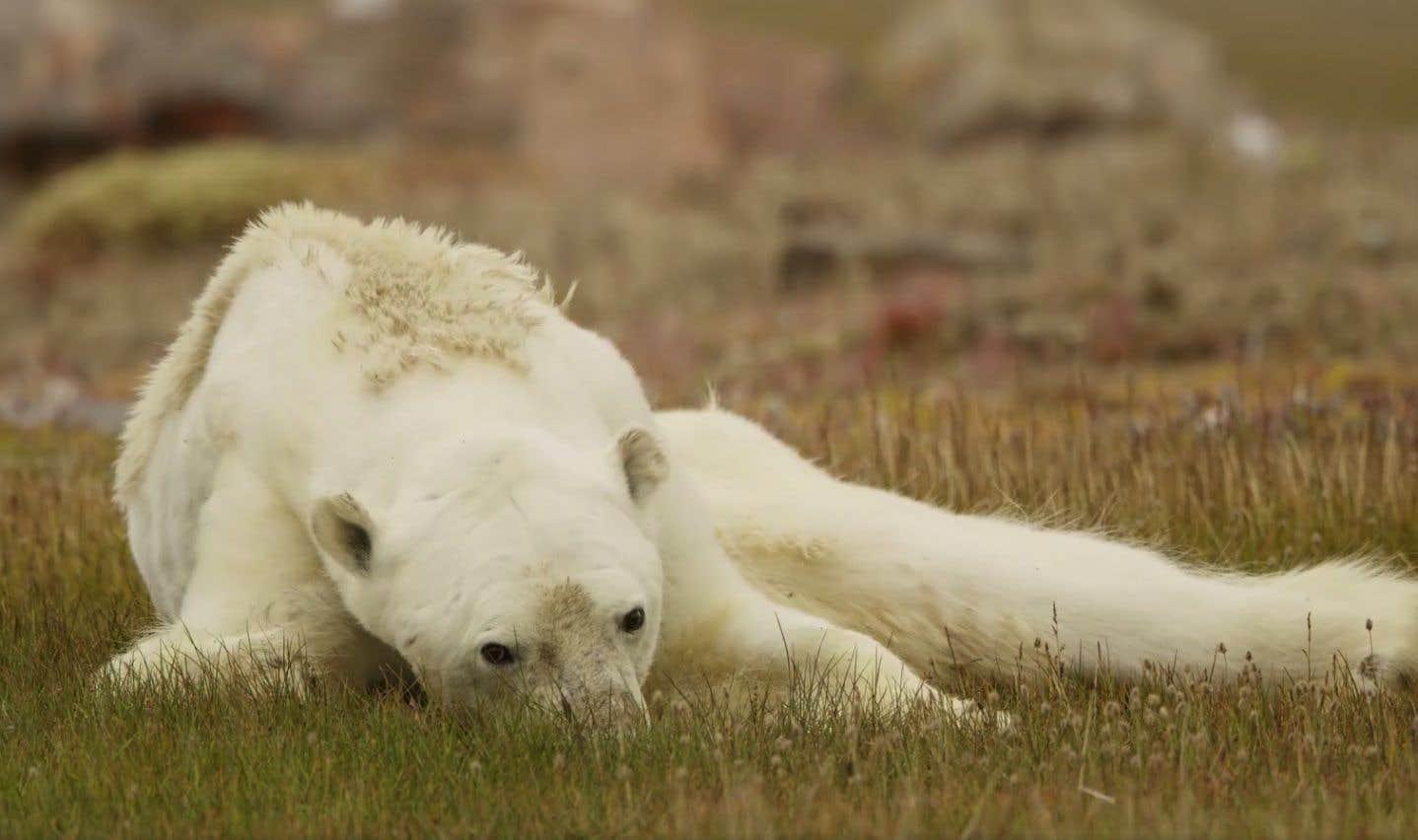 La vidéo montre un ours squelettique, l'écume à la bouche, fouiller dans un baril en métal à la recherche de nourriture.