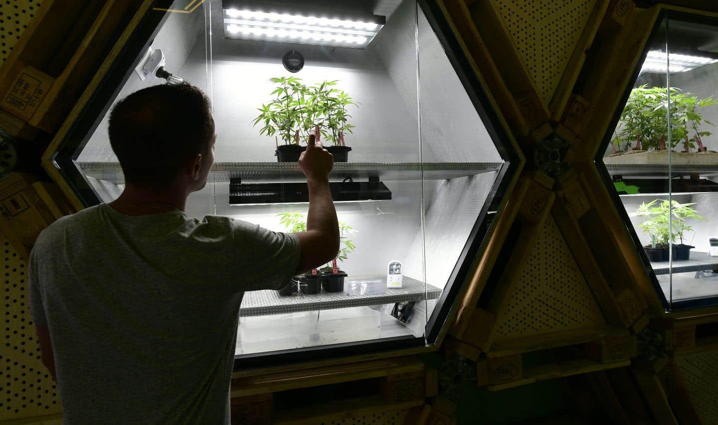 Au Québec, si les activités de distribution et de vente du cannabis contrôlées par les organisations criminelles périclitent, plusieurs centaines, voire des milliers de «travailleurs» perdront leur emploi, souligne l'auteur.