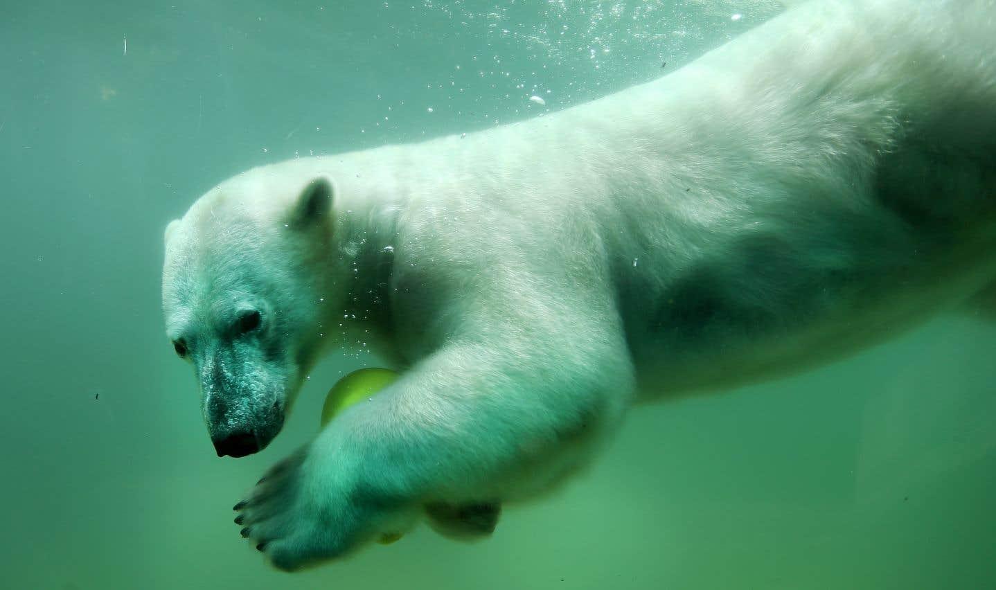 La fonte des glaces contraint les ours à parcourir de plus grandes distances pour trouver les jeunes phoques, qui sont leur nourriture de prédilection.