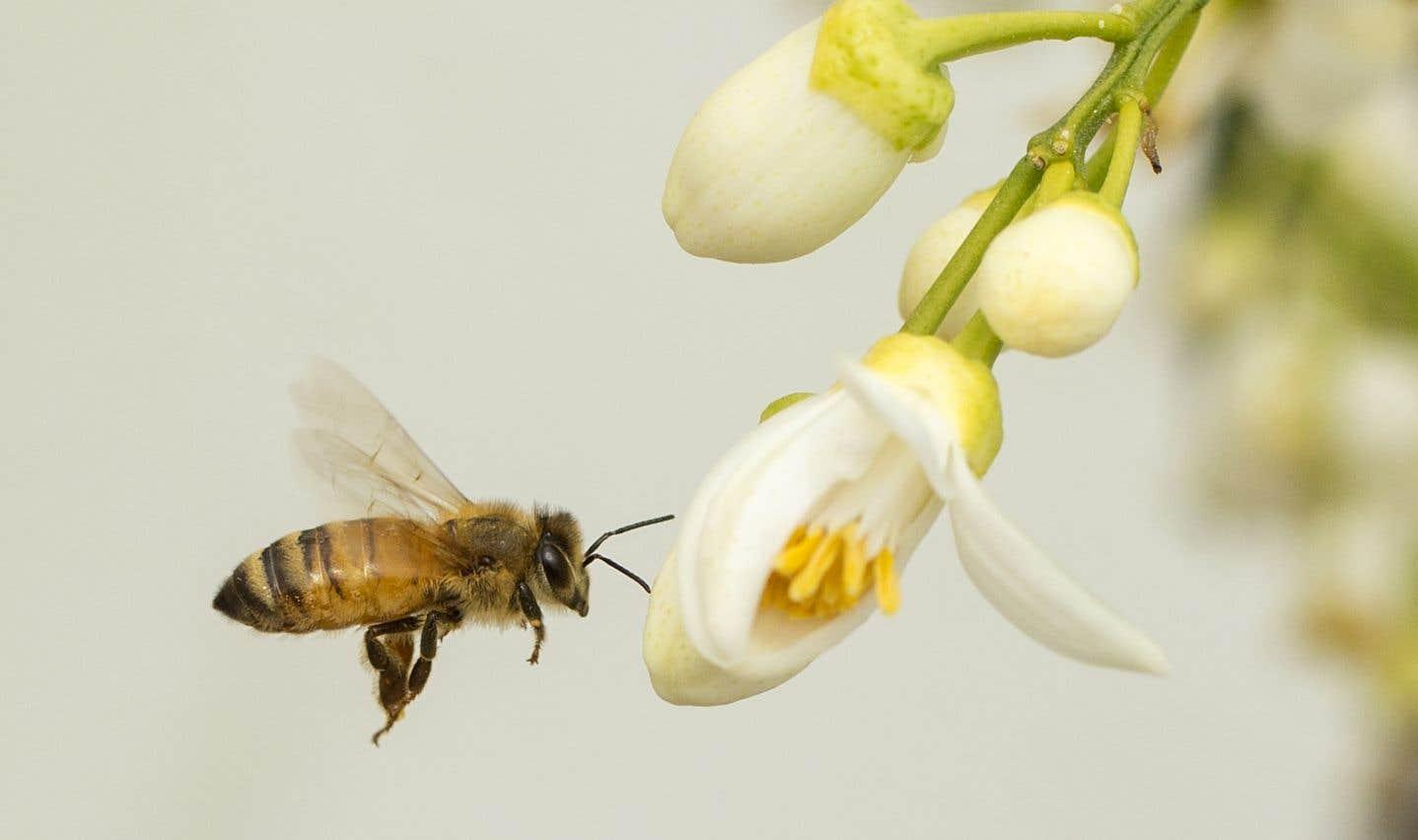 Les abeilles ont fait les frais de l'usage des néonicotinoïdes au Québec, mais aussi ailleurs dans le monde.