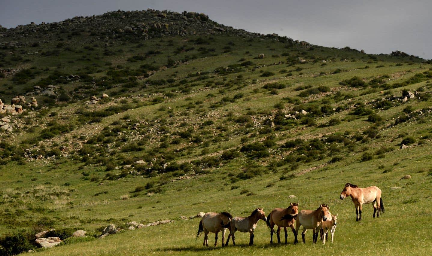 Les scientifiques ont découvert que les chevaux de Przewalski (ci-dessus en Mongolie) descendaient en réalité des chevaux de Botai, les équidés domestiqués connus les plus anciens.