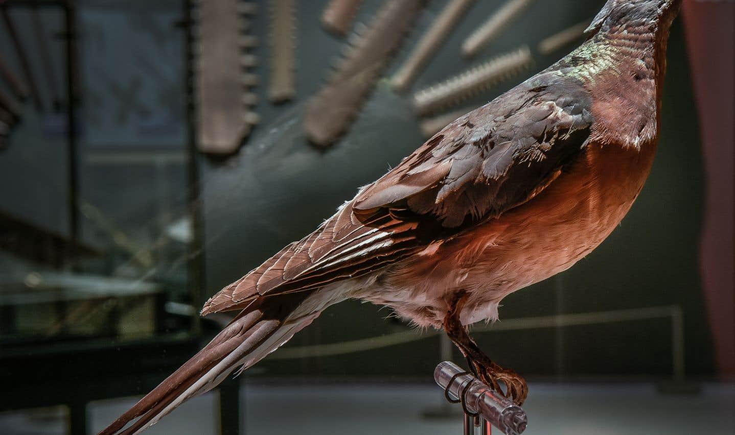 L'un des rares spécimens naturalisés de la tourte voyageuse (Musée de la nature et des sciences de Sherbrooke).