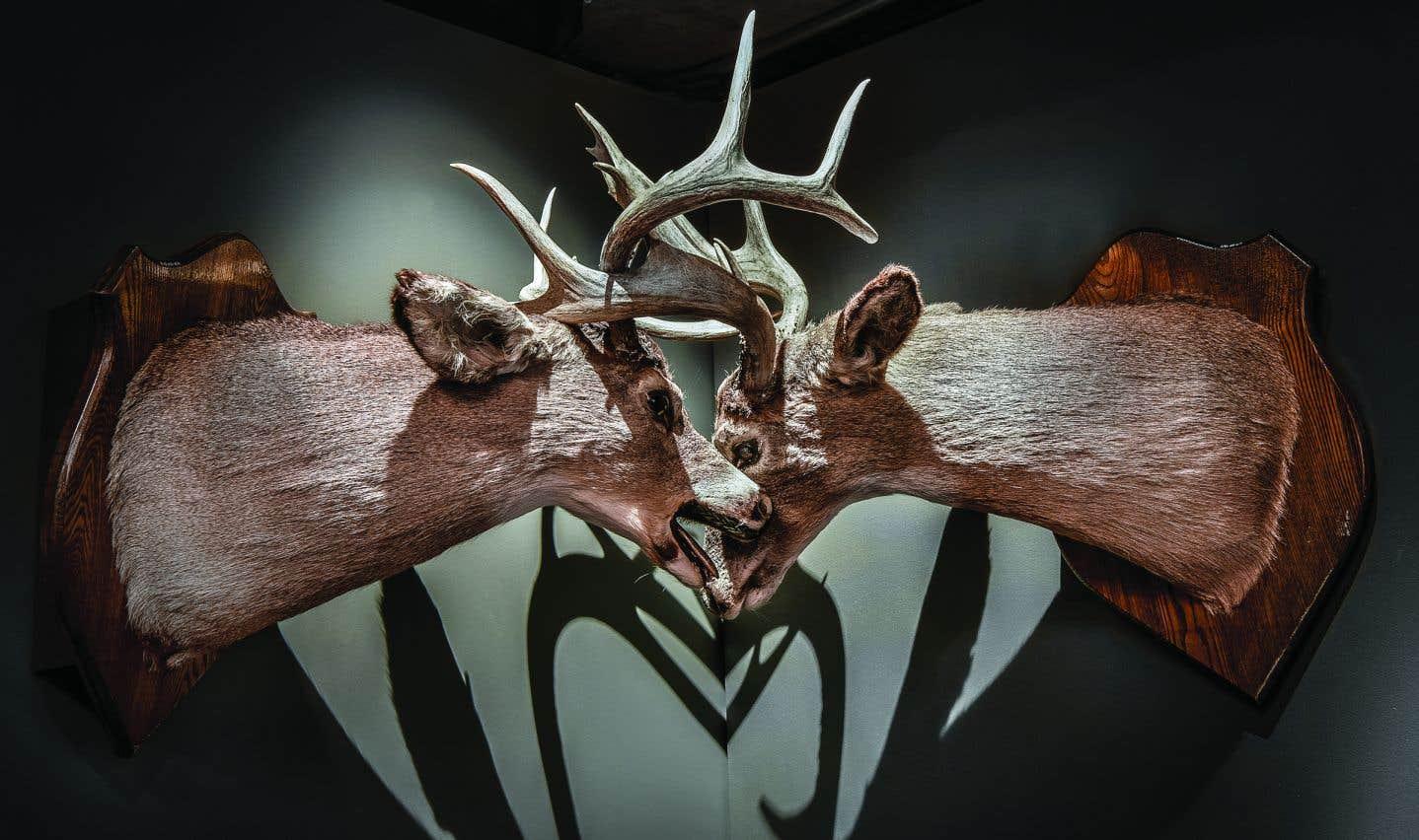 Deux cerfs de Virginie dont les bois entrelacés lors d'une bataille a causé leur mort (Musée de la nature et des sciences de Sherbrooke).