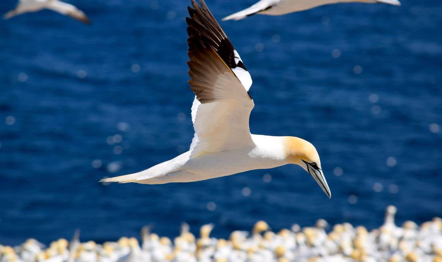 Près de 100 000 fous de Bassan nichent chaque année sur l'île Bonaventure, au large de Percé.